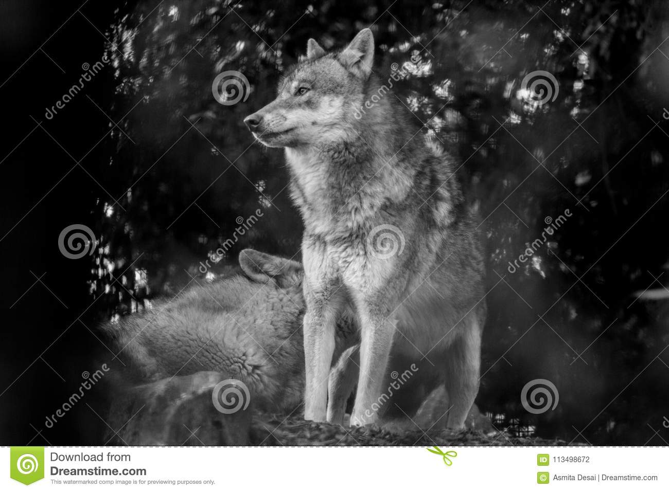 Wolf Grey Canis lupus side profile
