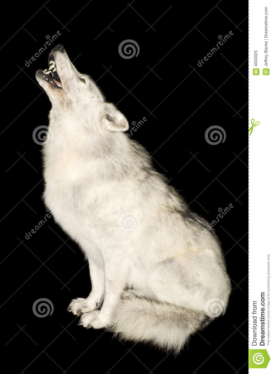 Wolf Howling Black And White Wolf howling isolated over