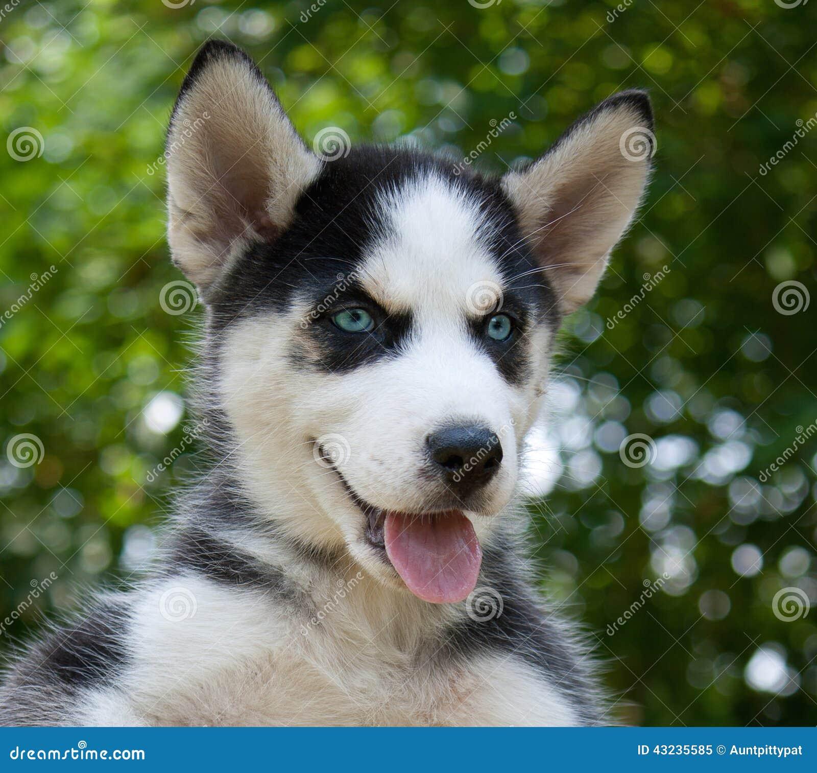 Wolf Hybrid Puppy Stock Image Image Of Wolf Hybrid 43235585
