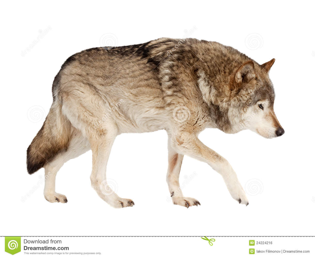 Wolf. Isolated Over White Royalty Free Stock Image - Image: 24224216