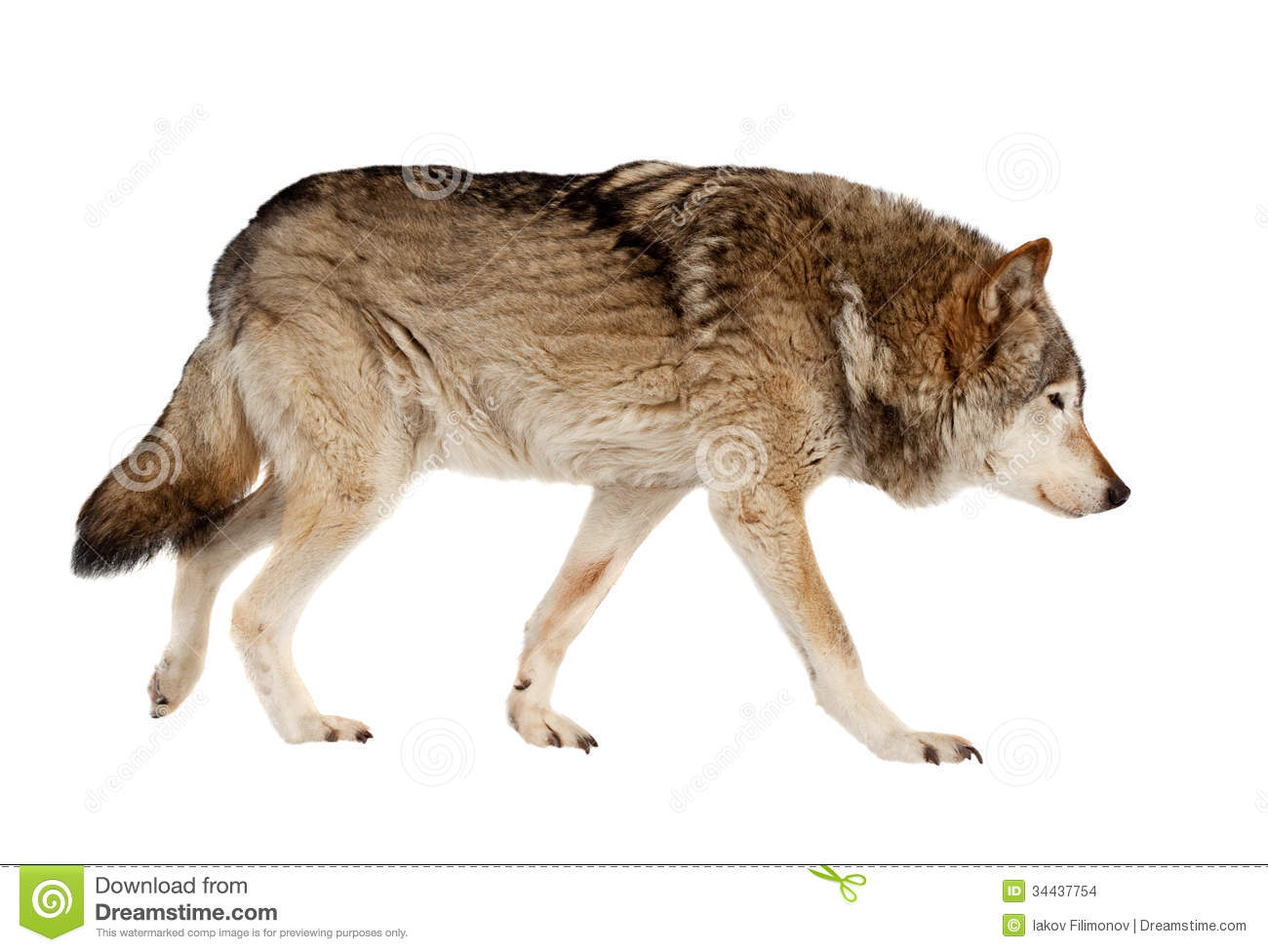 Wolf. Isolated Over White Stock Images - Image: 34437754