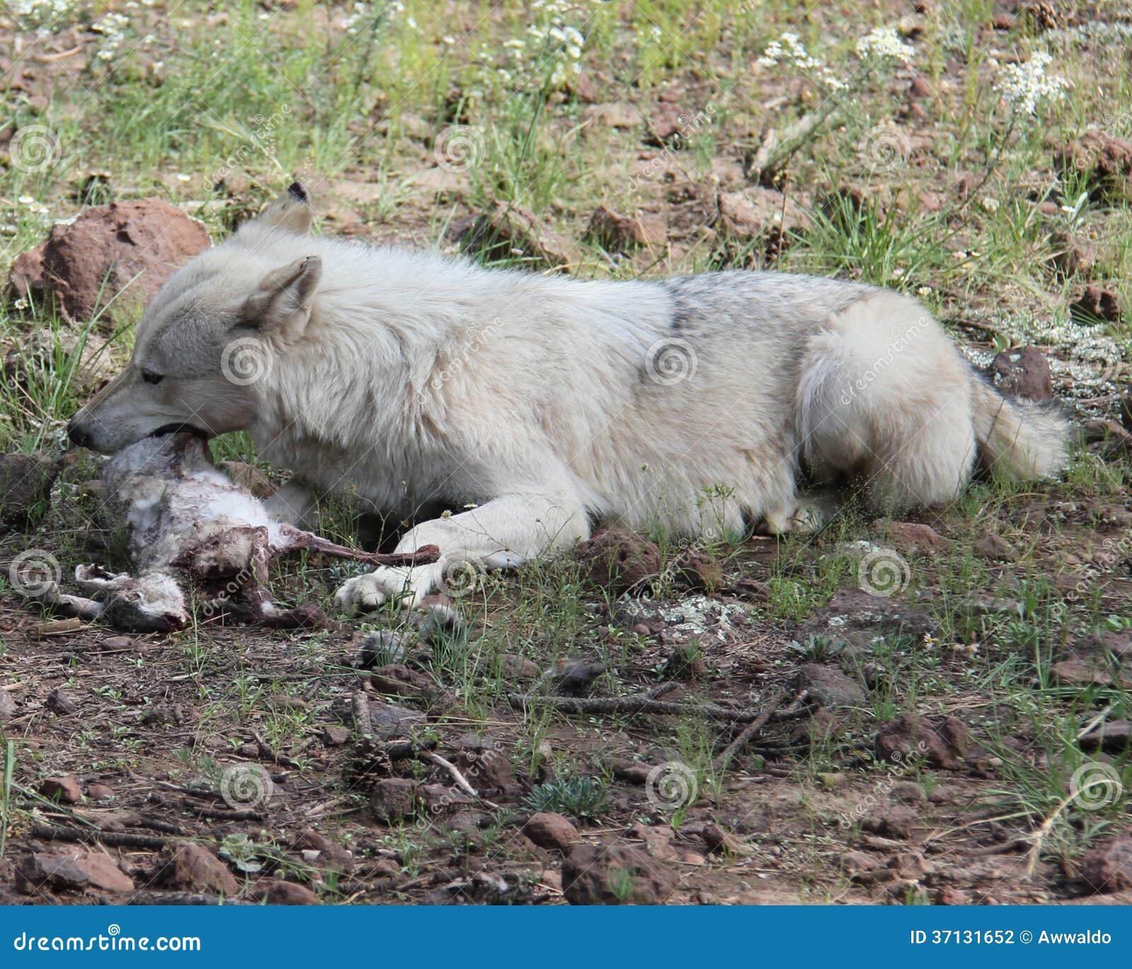 Wolf eating rabbit - photo#13