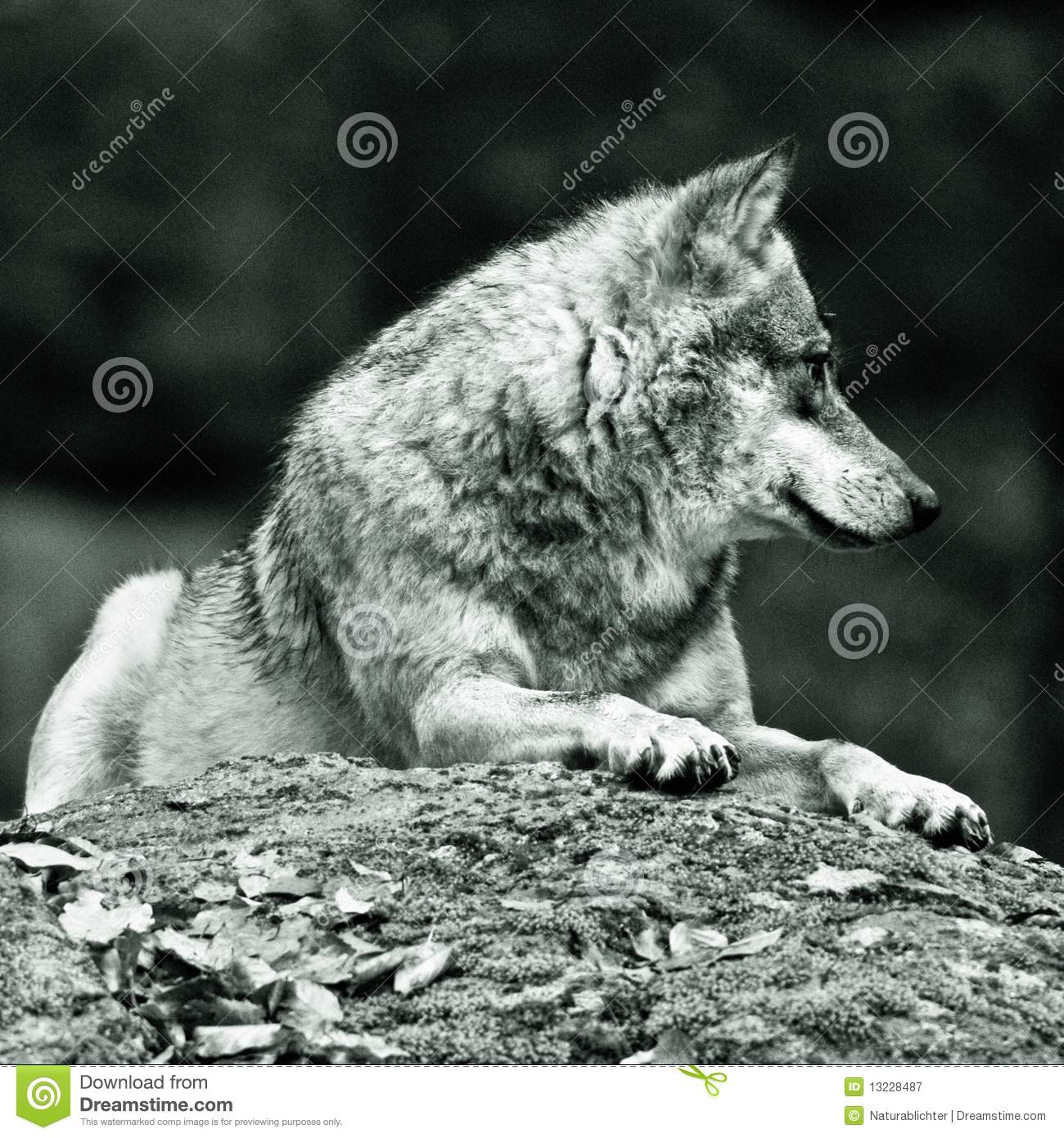 Wolf Laying On Rock Royalty Free Stock Photography