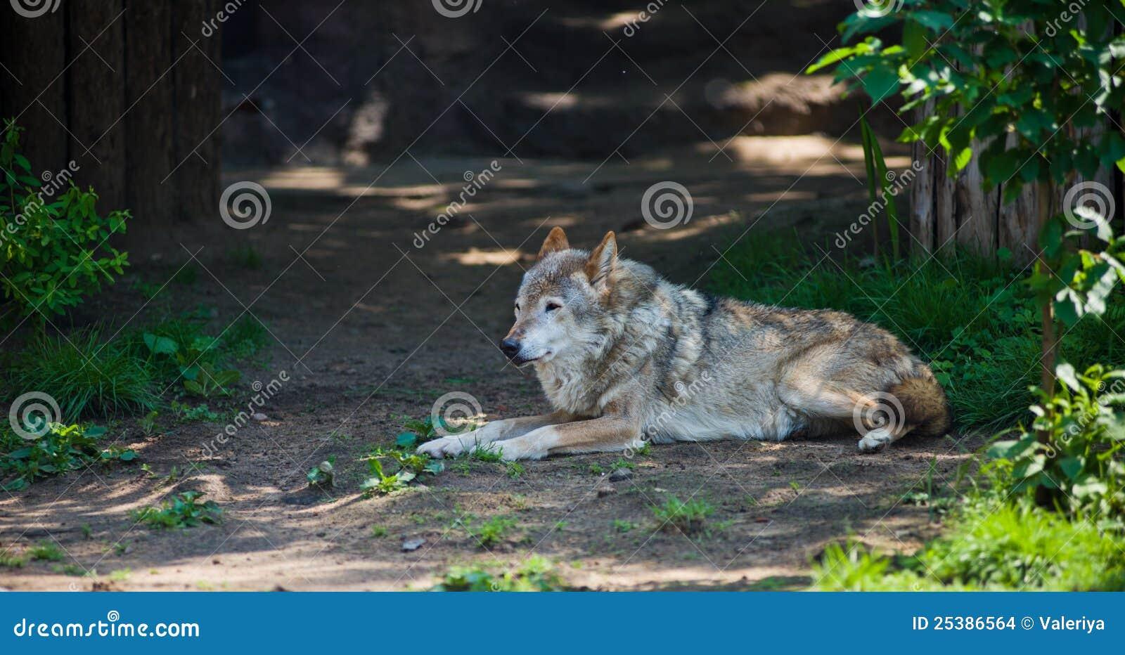 Wolf Lying Stock Images - Image: 25386564  Wolf Lying Stoc...