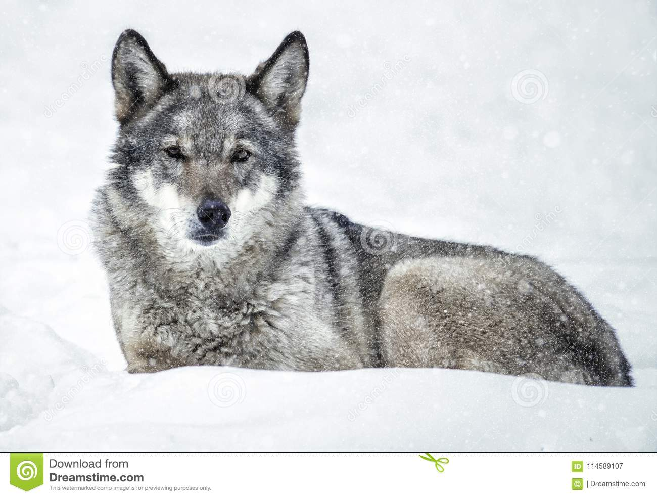 Relaxed Wolf lying on the snow in the forest