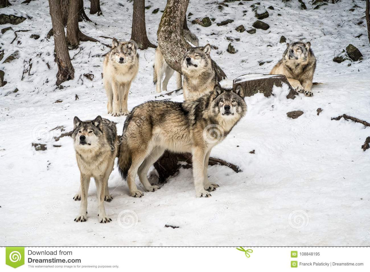 Download Gray Wolf Pack With Alpha In The Center Looking At Camera Stock Image - Image of chilling, wolf: 108848195