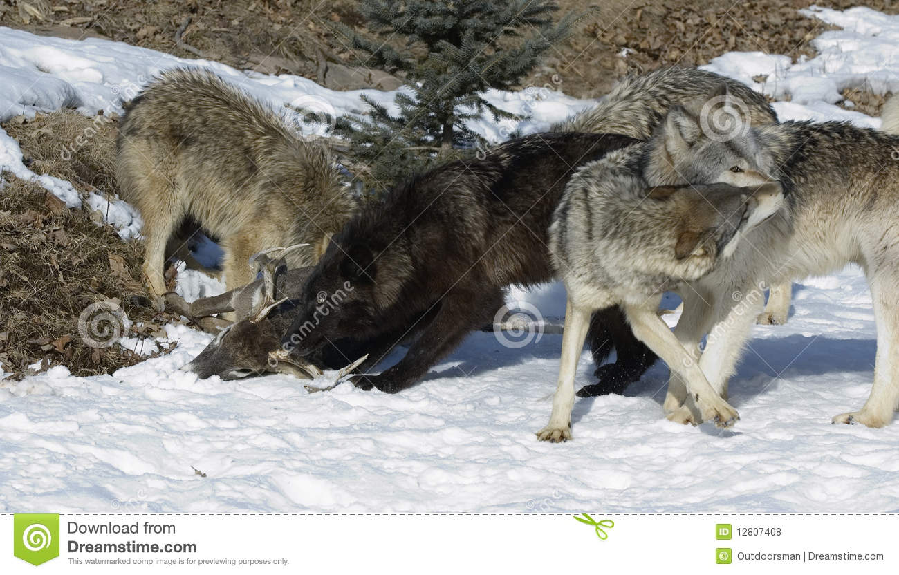 Wolf pack by deer kill stock photo. Image of fighting ...
