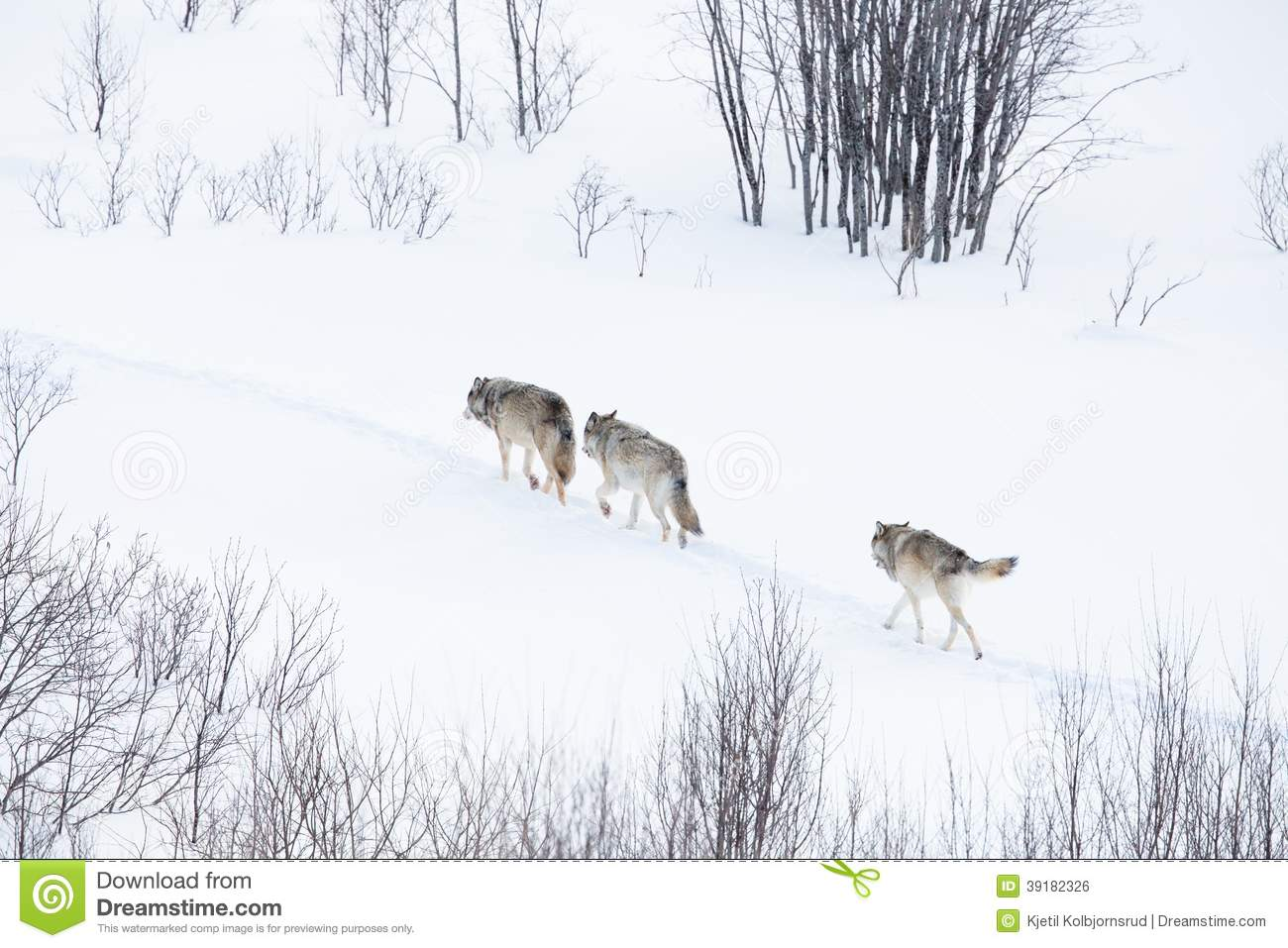 Wolf pack walking in winter landscape stock photo image 39182326