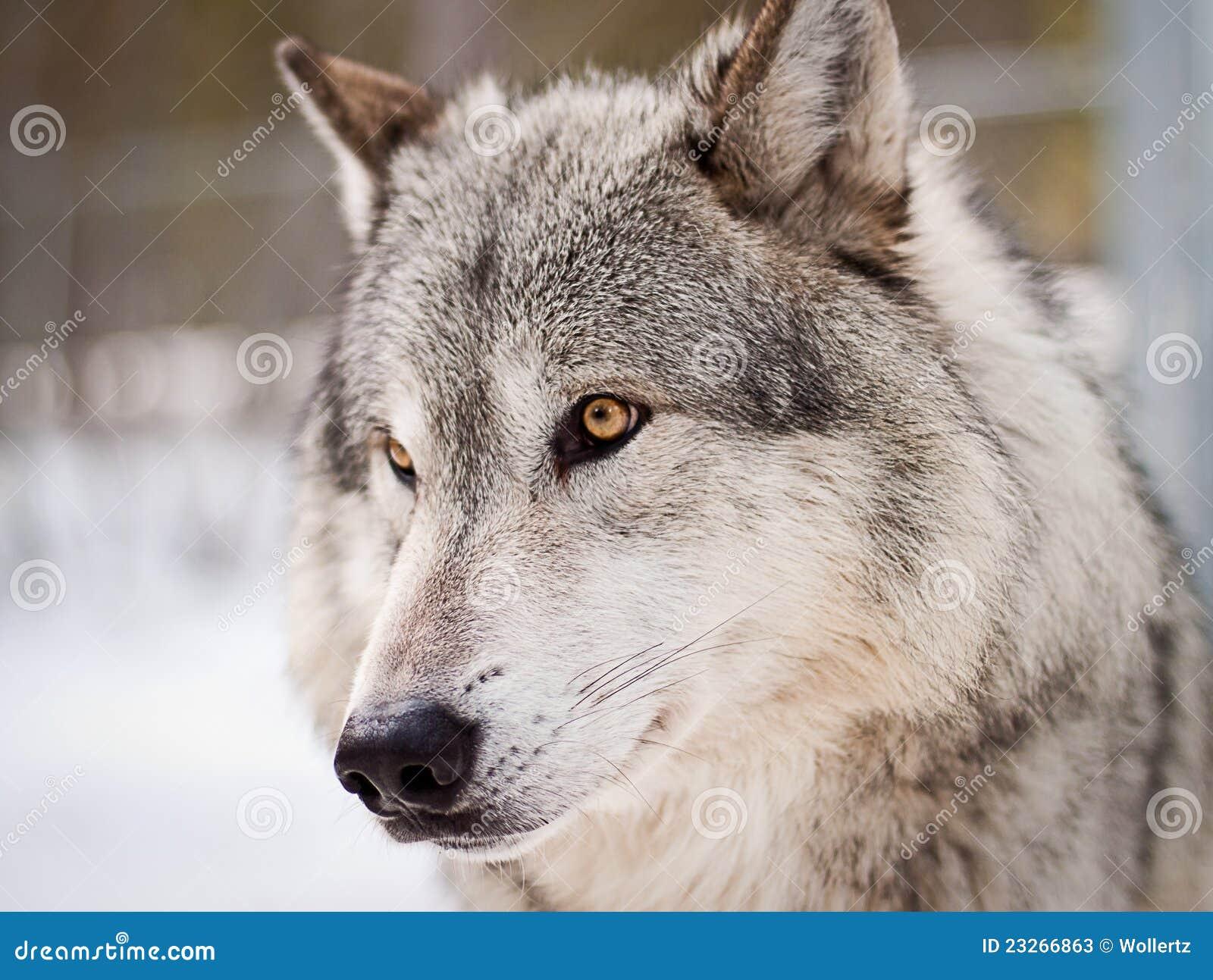 Wolf Portrait Stock Photos Image 23266863