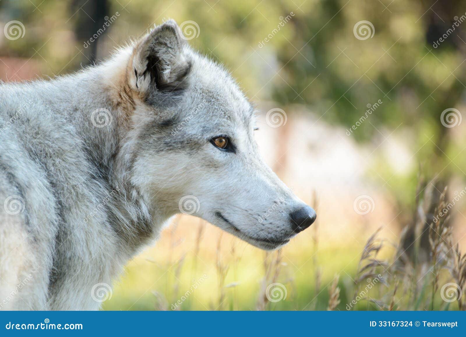 Wolf Profile Stock Photo Image Of Park Yellow Wild 33167324