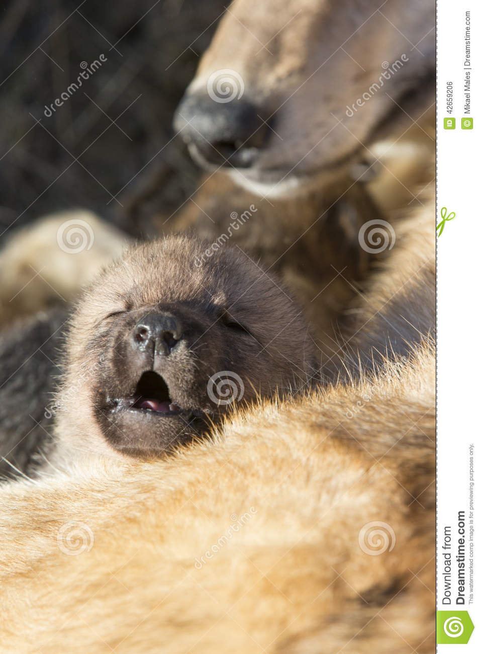Stock Photo Wolf Pup Vocalizing Mother Resting Image42659206