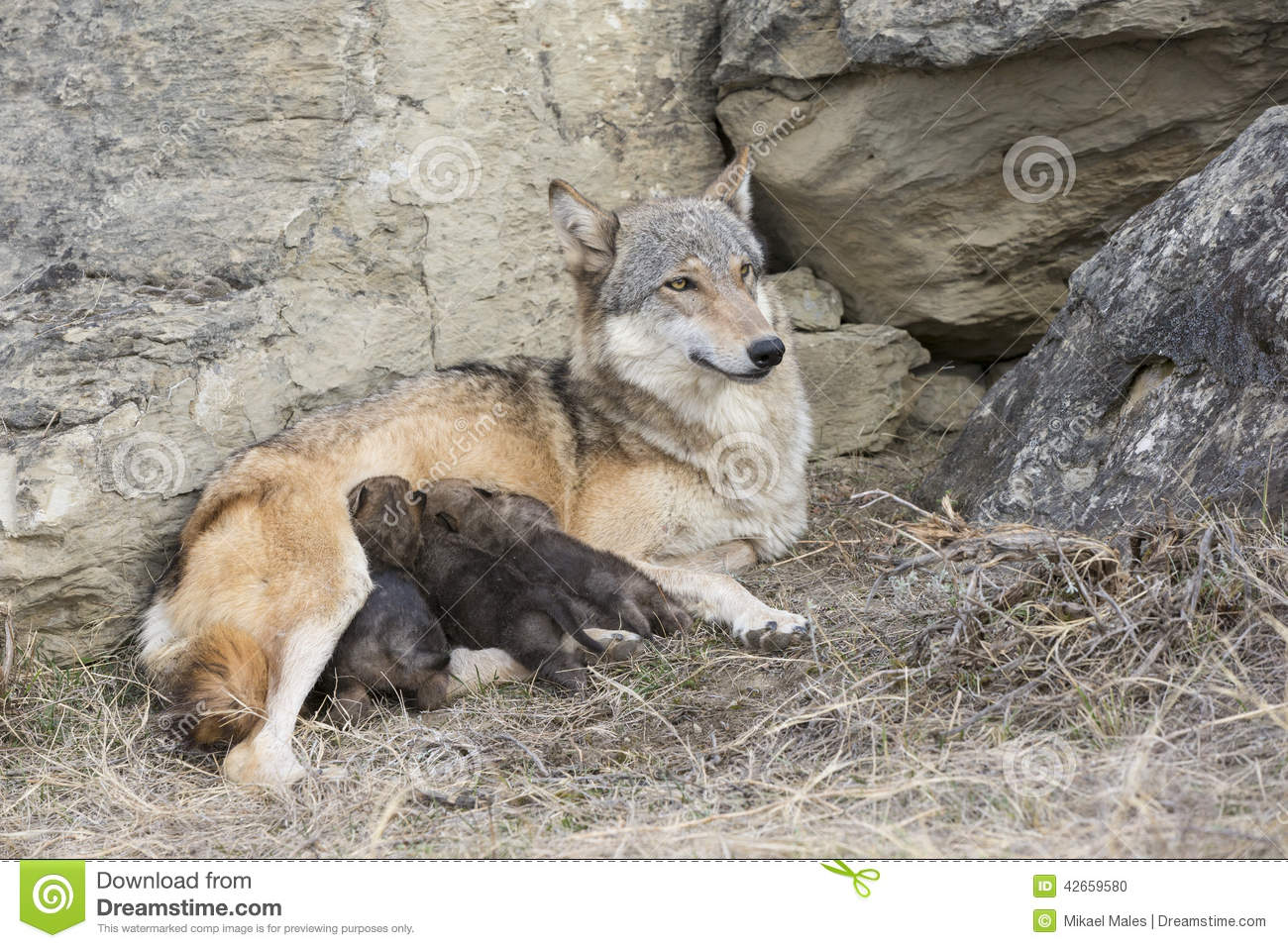 Download Wolf Pups Feeding On Mother Stock Photo - Image of cute, grey: 42659580