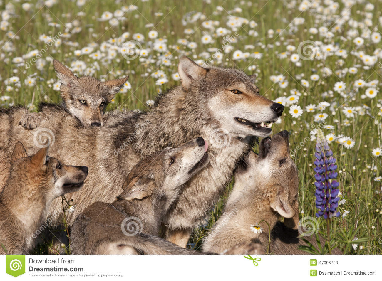 Pack Of Playful Wolf Puppies Playing With Their Mother In A Meadow