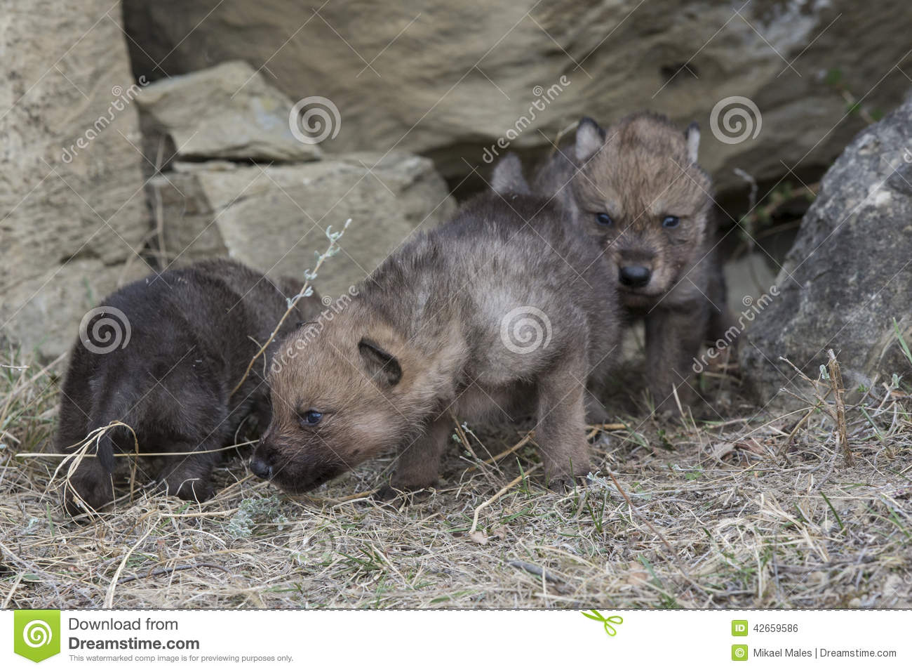 Wolf pups walking out of den