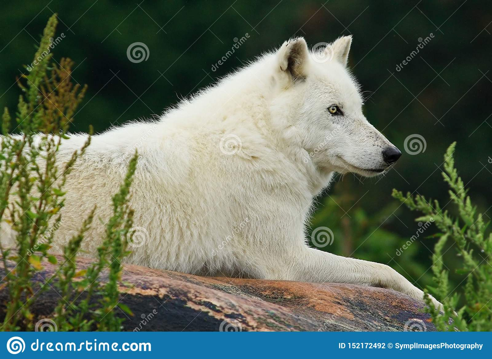 Wolf Resting On Rock arctique