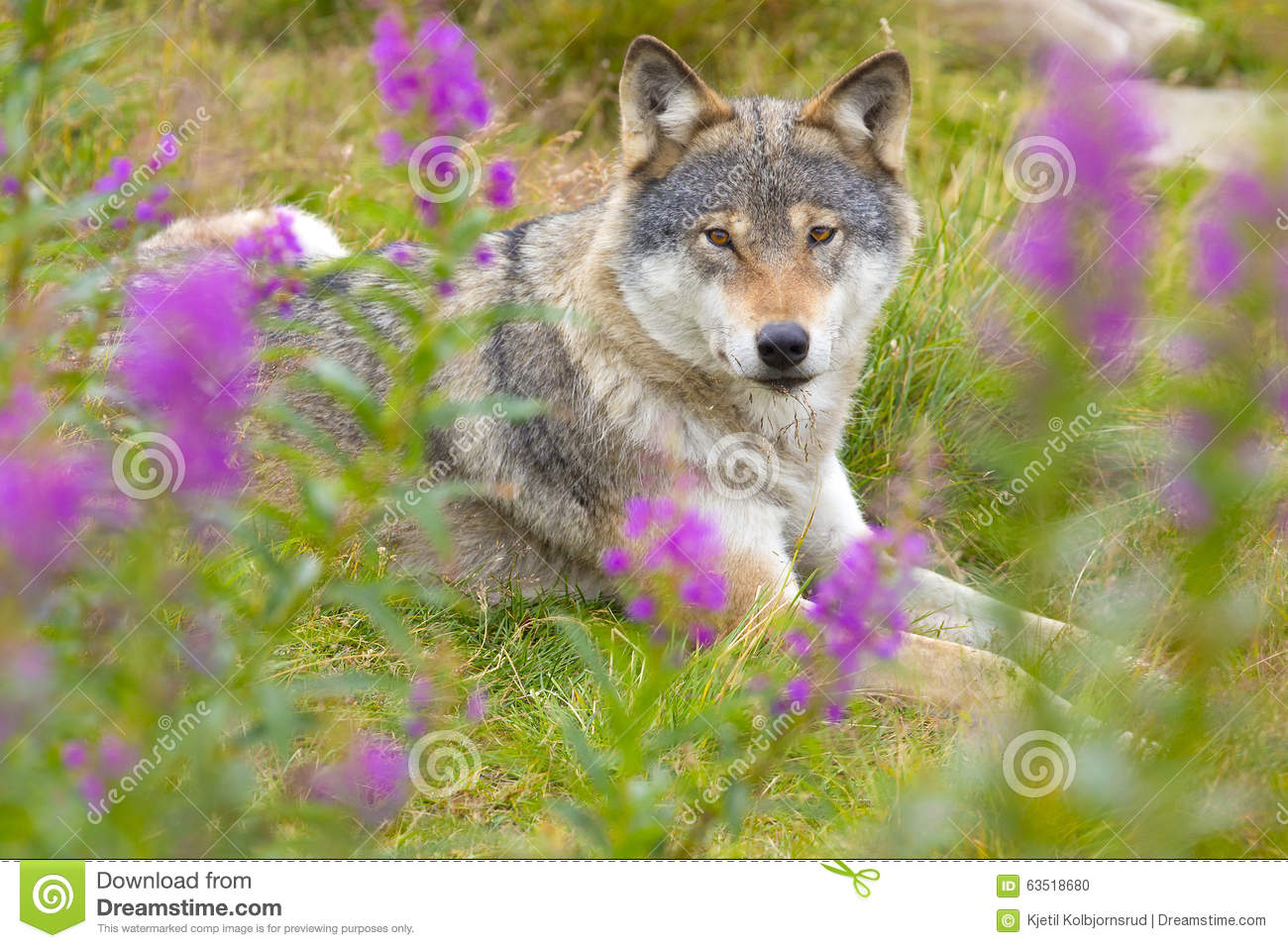 Wolf rests in a grass meadow with flowers