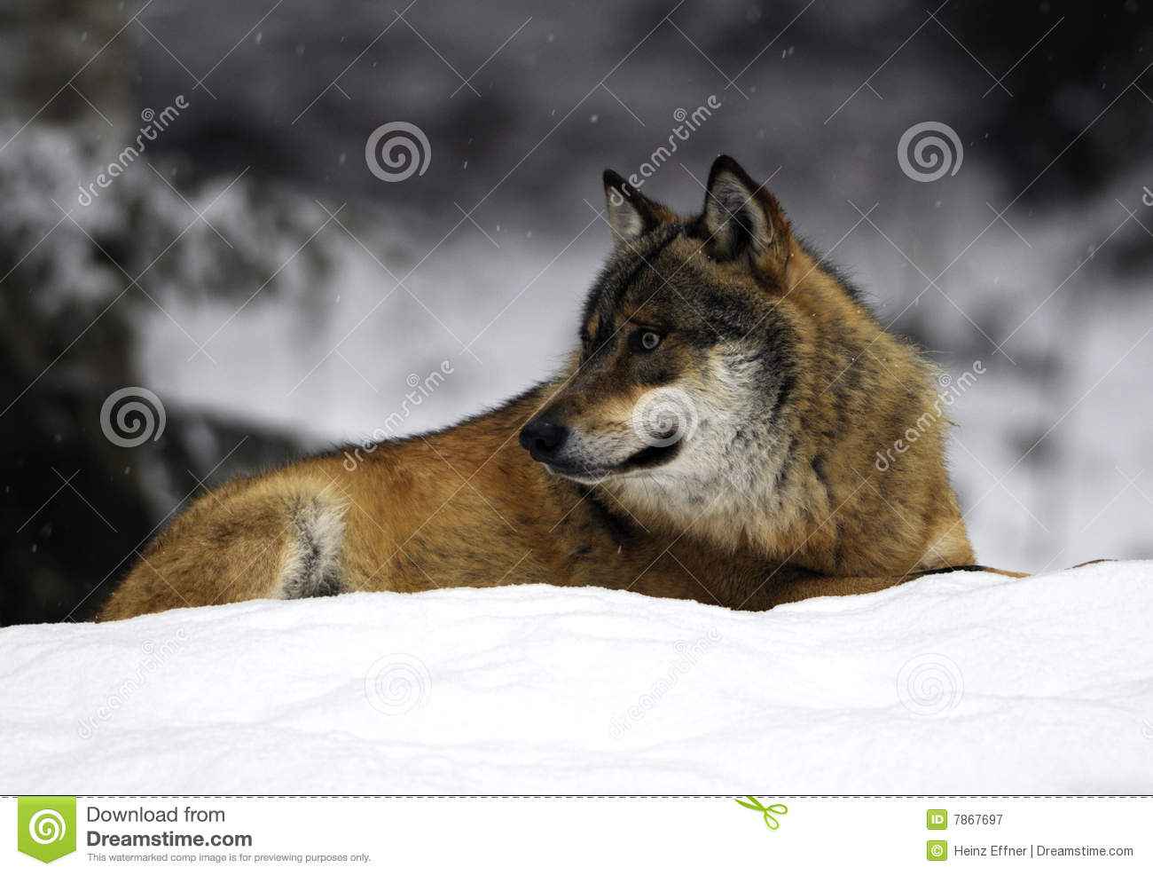 Wolf In Snowy Bavarian Forest Royalty Free Stock
