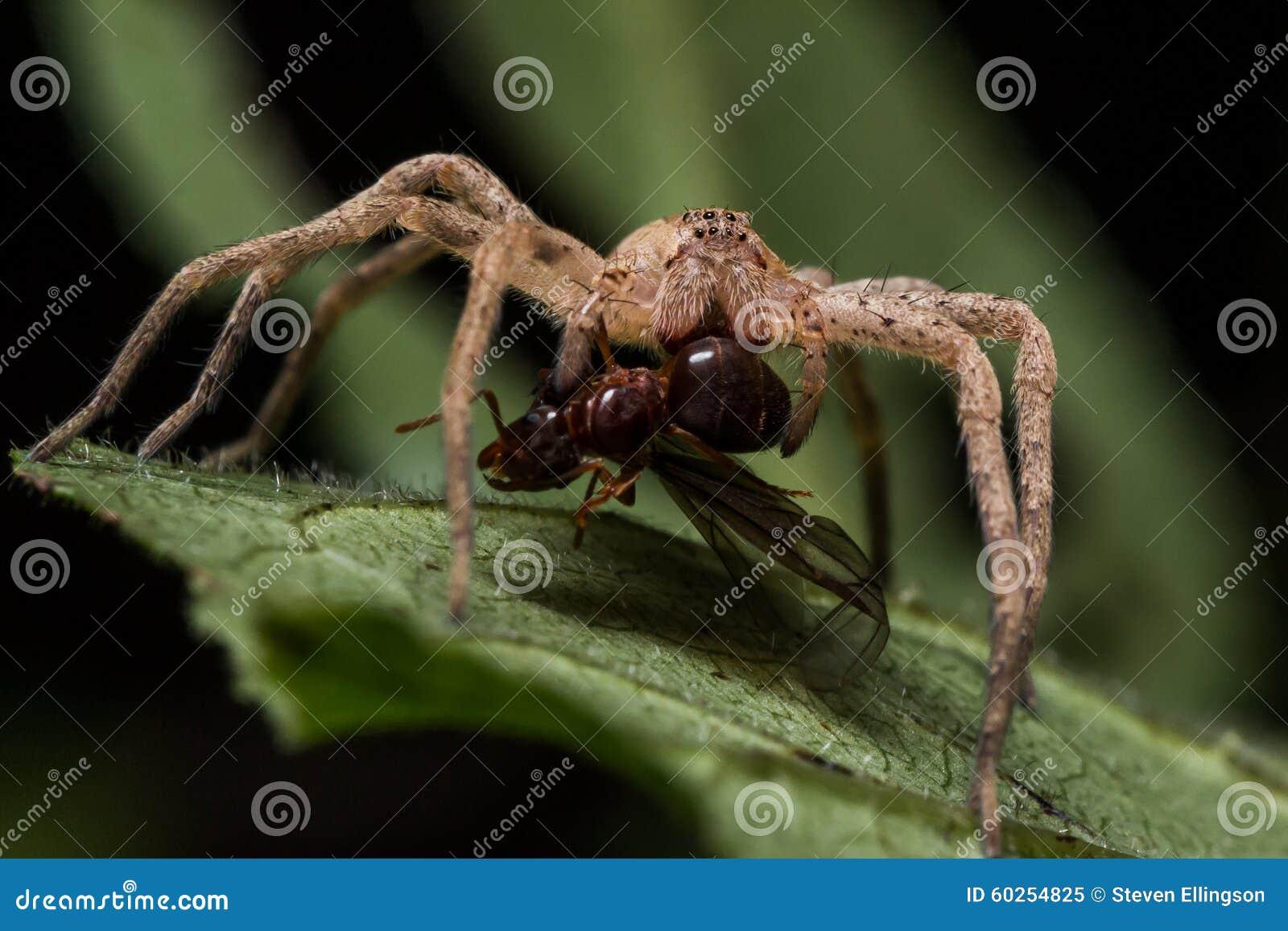 Wolf Spider Eats Red Ant auf grünem Blatt