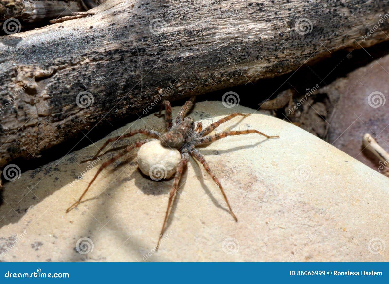 Wolf Spider Egg Sack