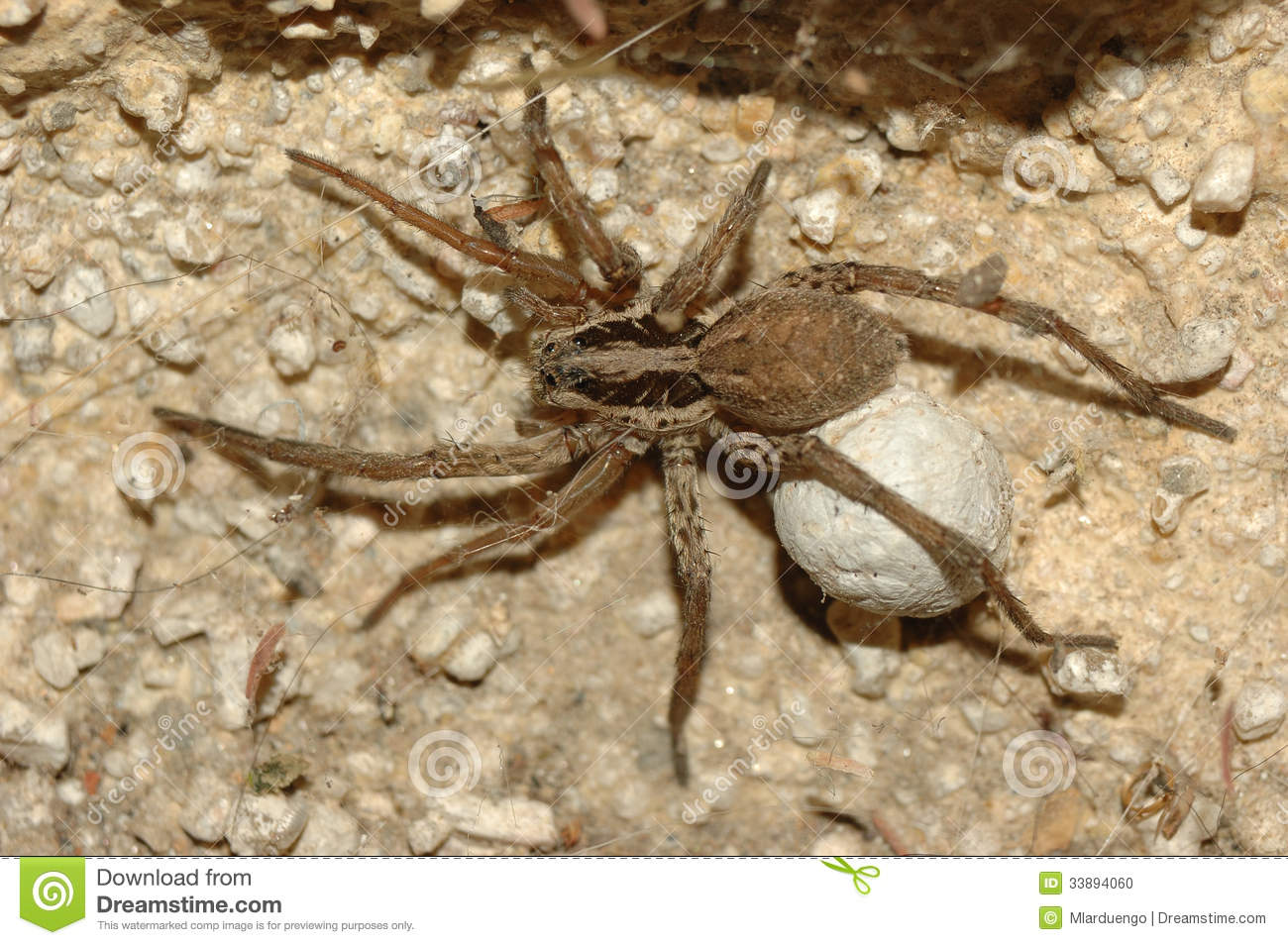 Wolf Spider Lycosa Tarantula Stock Photo Image Of Dread