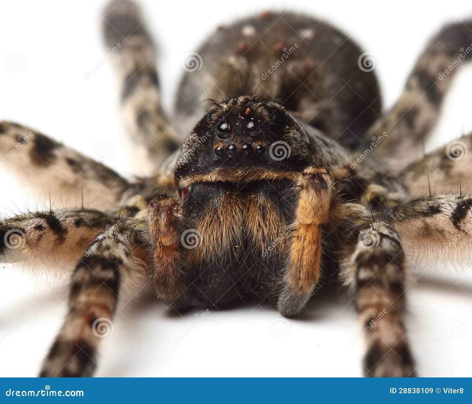 Wolf Spider Over White. Macro Stock Image