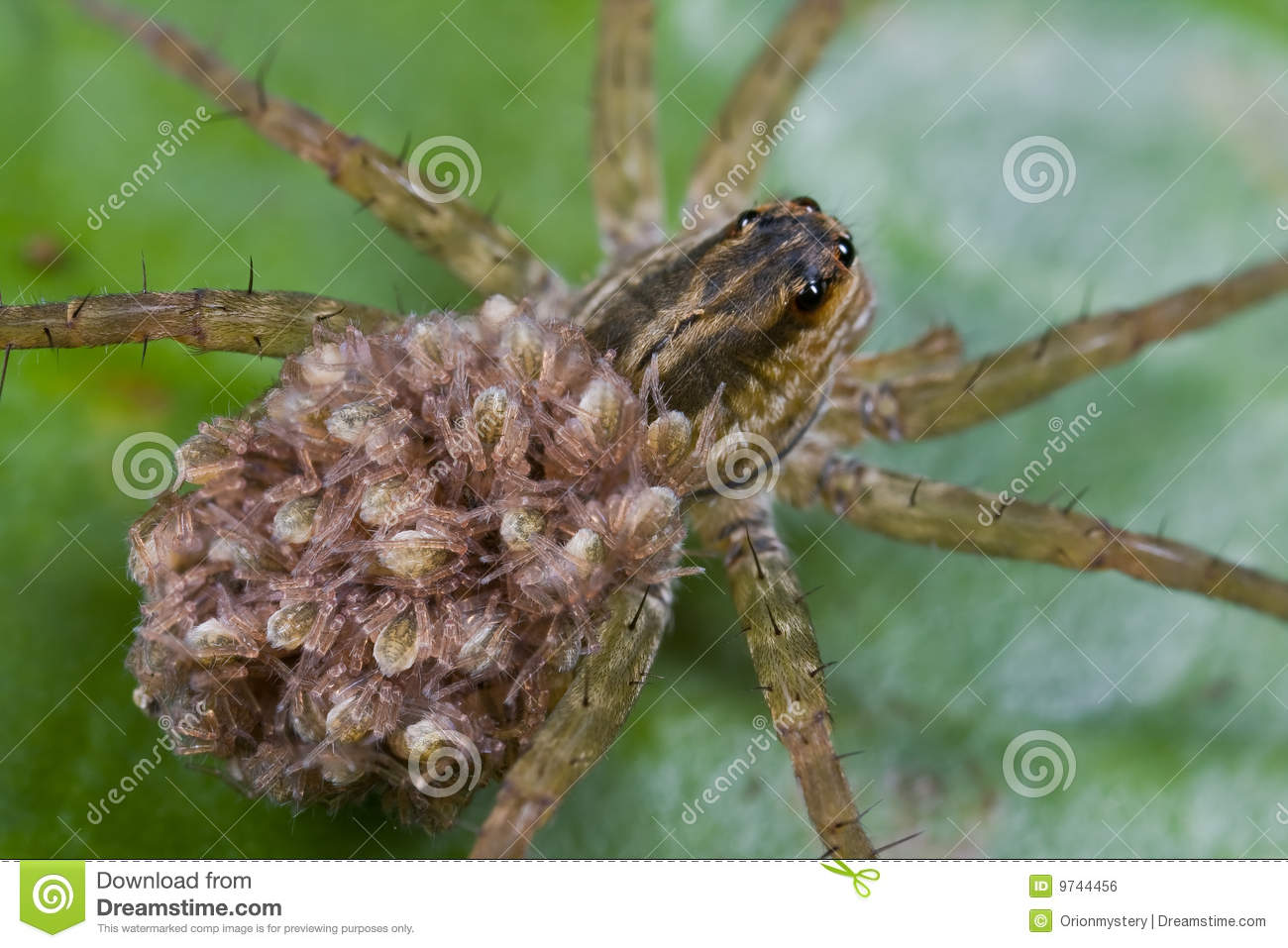 Wolf Spider With Spiderlings On Its Back Stock Photo