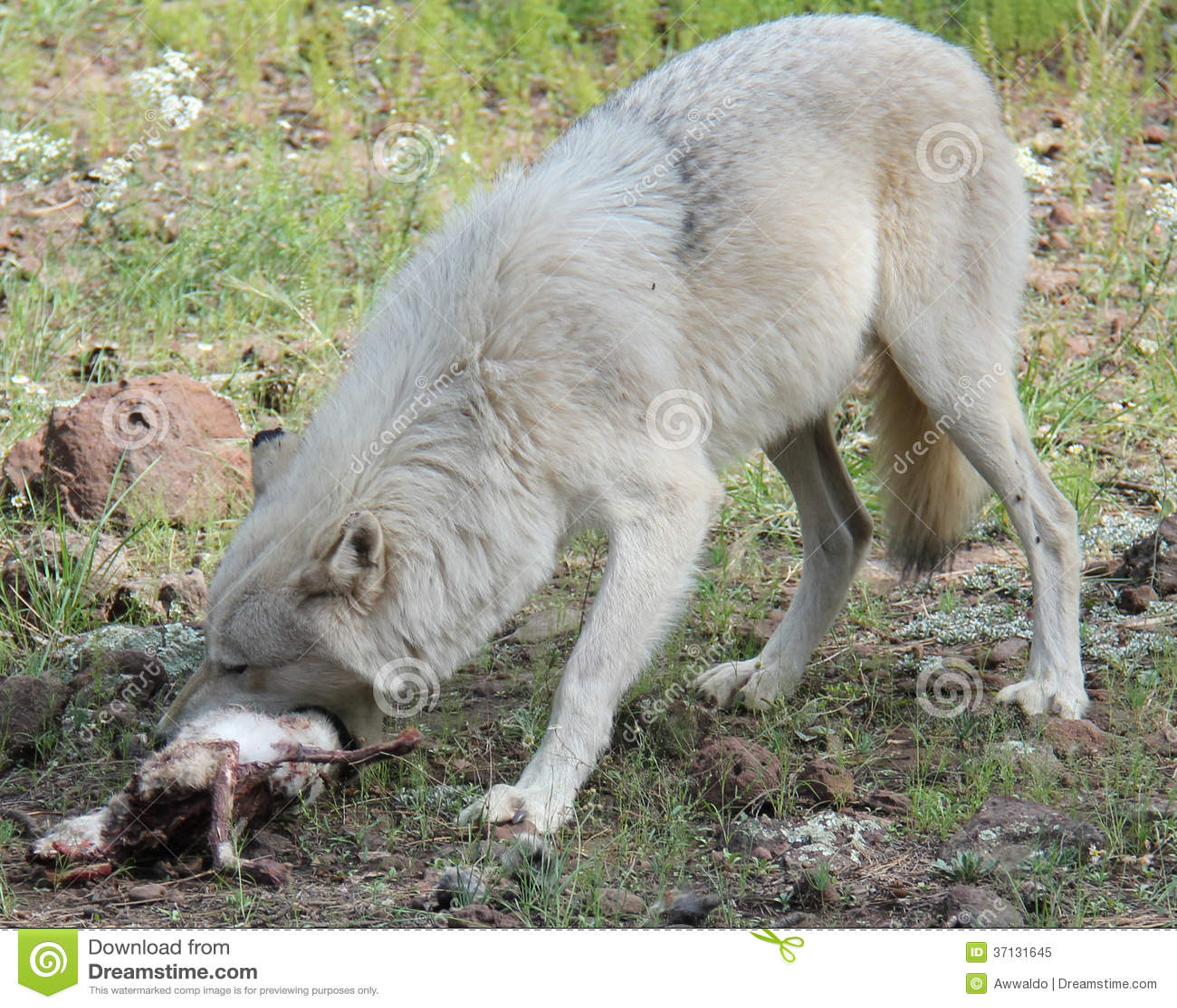 Wolf eating rabbit - photo#3