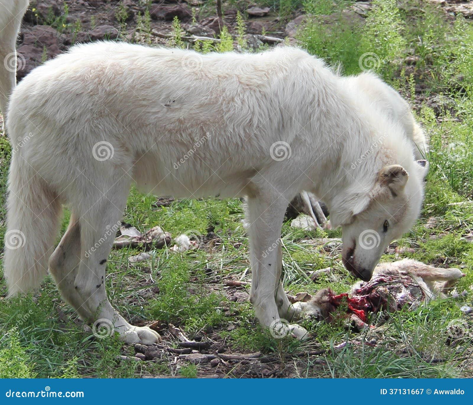 Wolf eating rabbit - photo#12