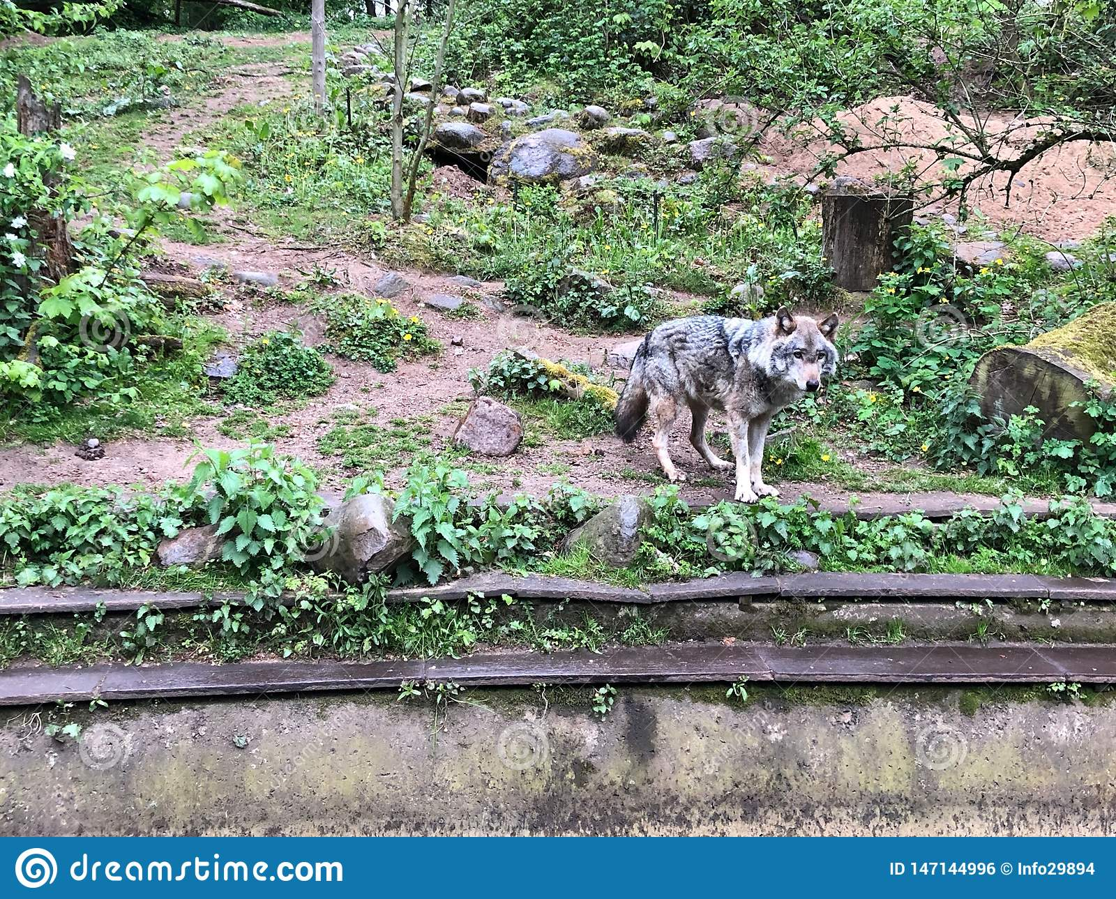 The wolf stands in the enclosure of a zoo