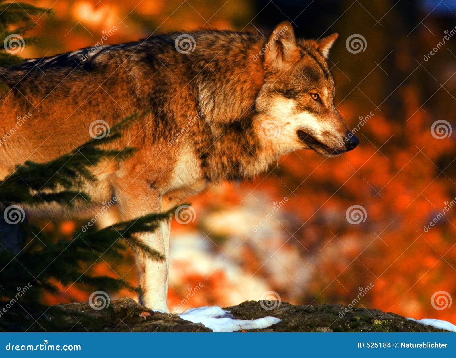 Wolf sunrise