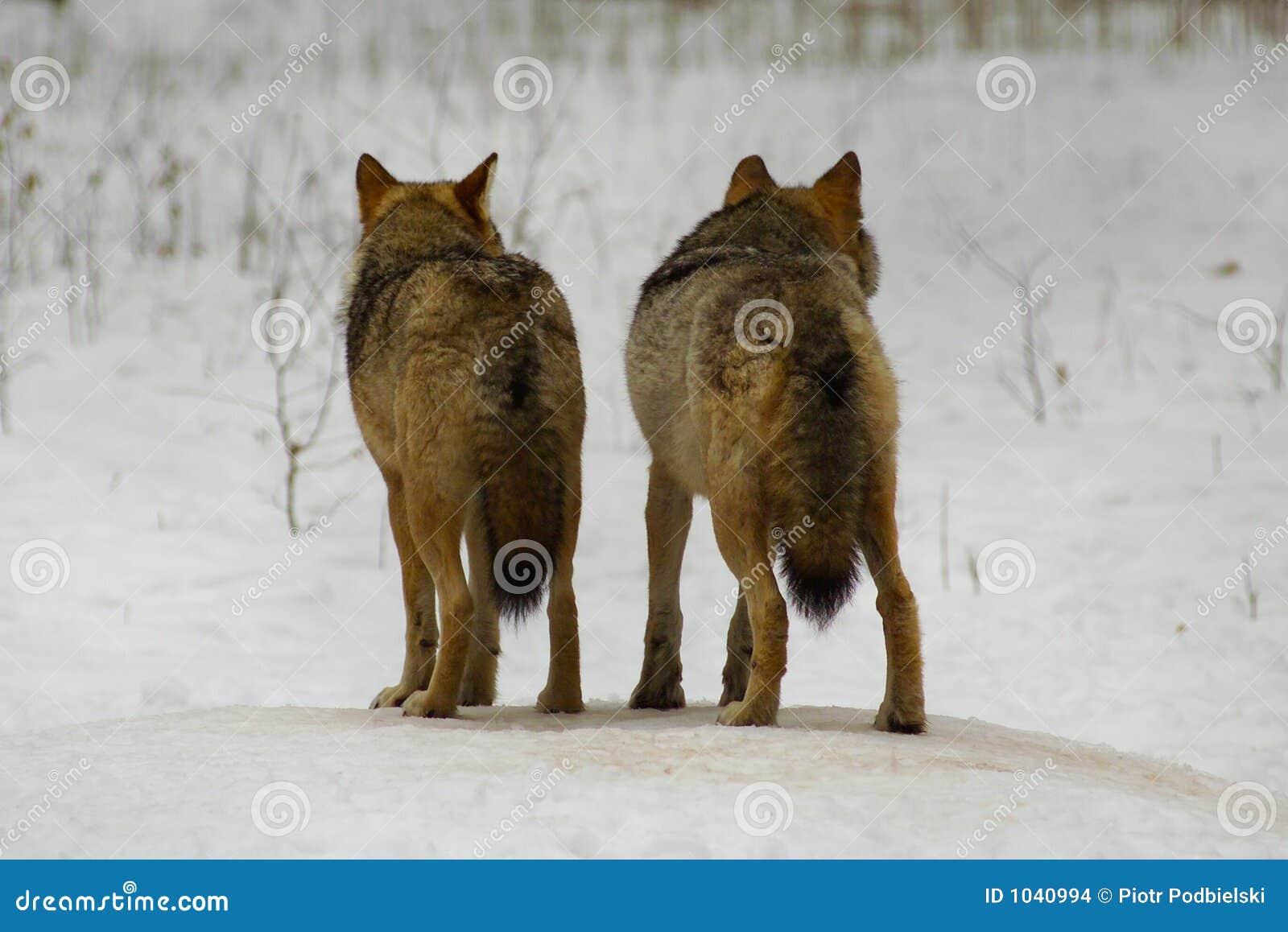 Wolf von Bialowieza/von Polen