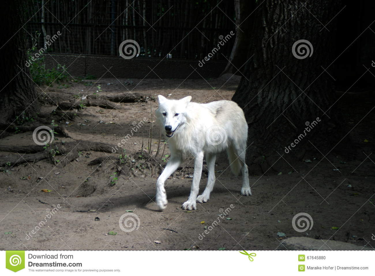 Wolf at a Zoo walking alone