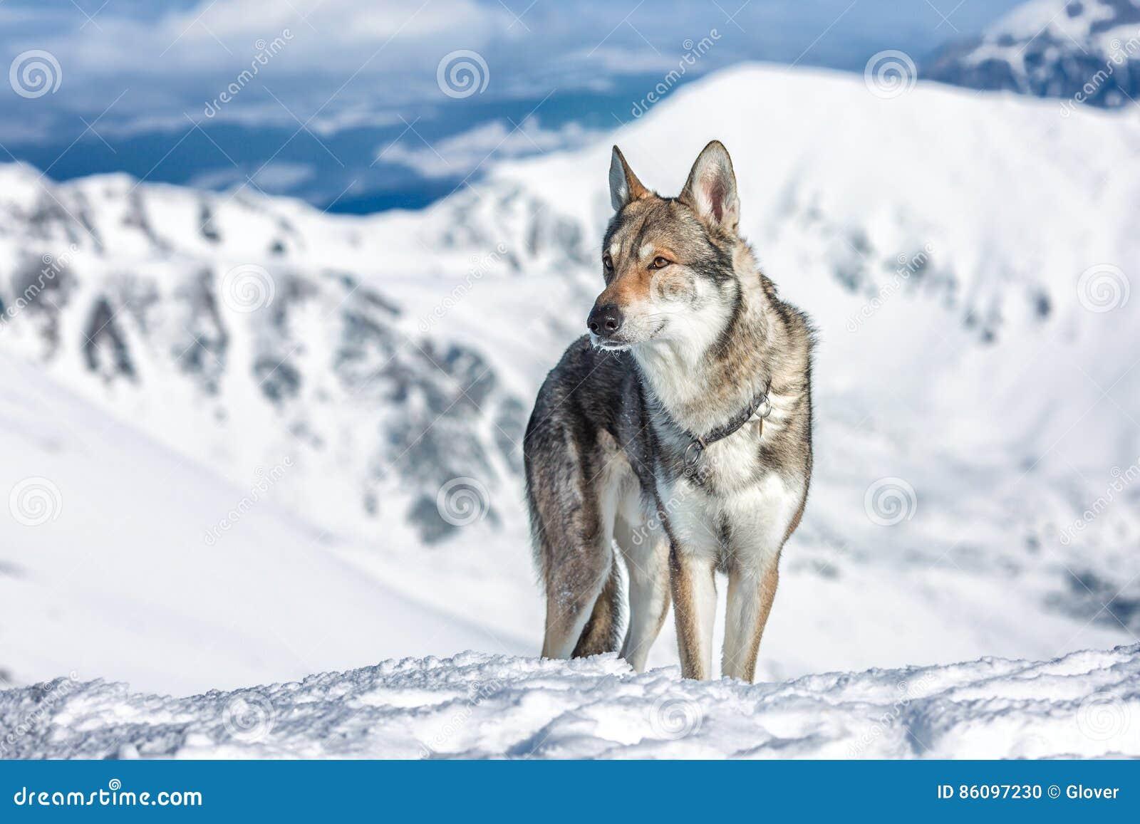 Wolfdog in winter