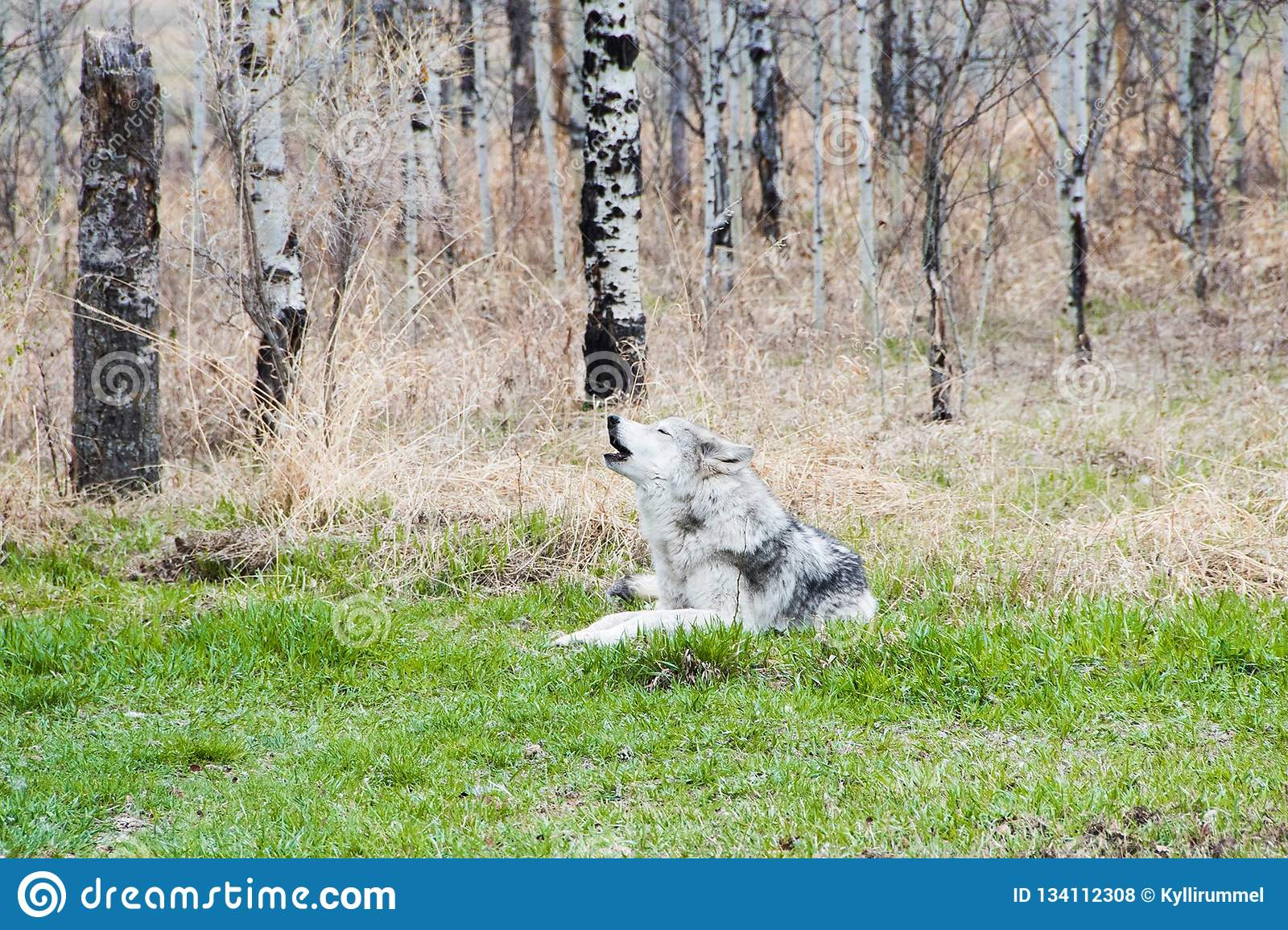 Wolfdog in the woods