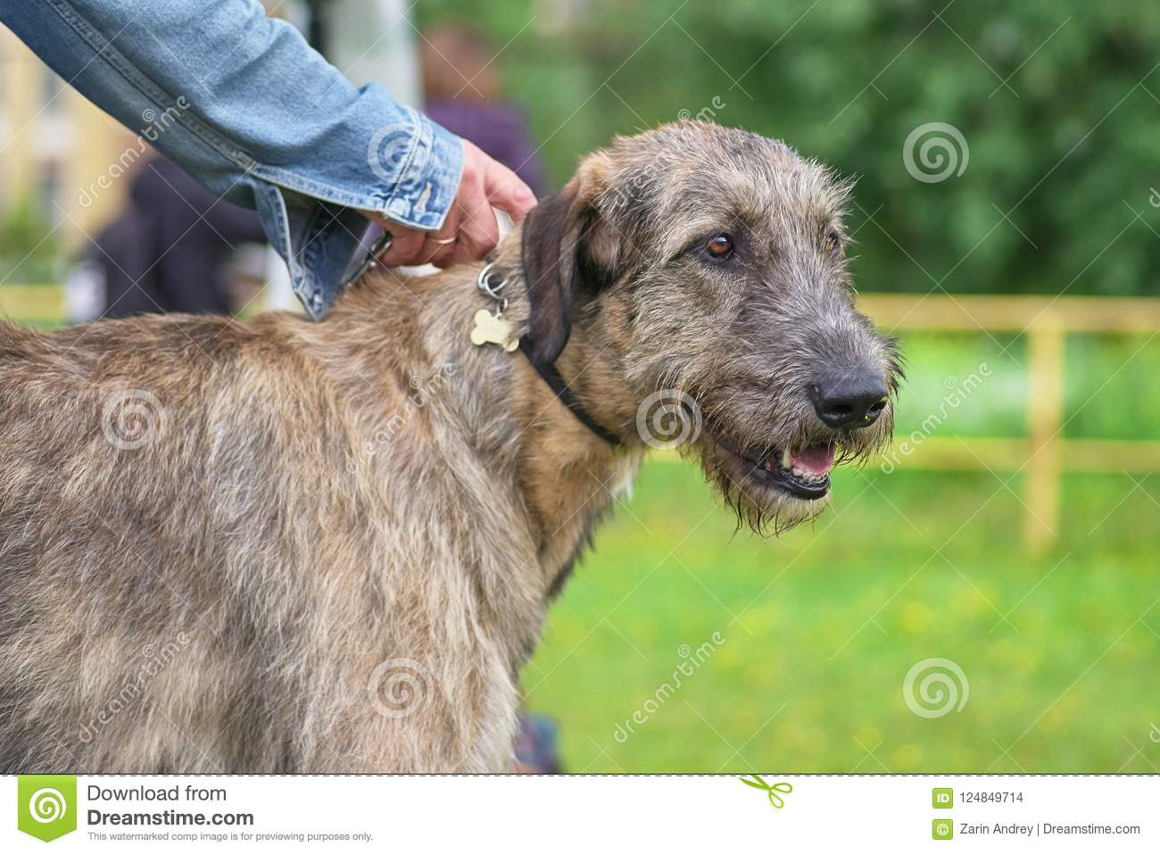 Irish Wolfhound Is A Breed Of Hunting Dogs  One Of The Biggest D