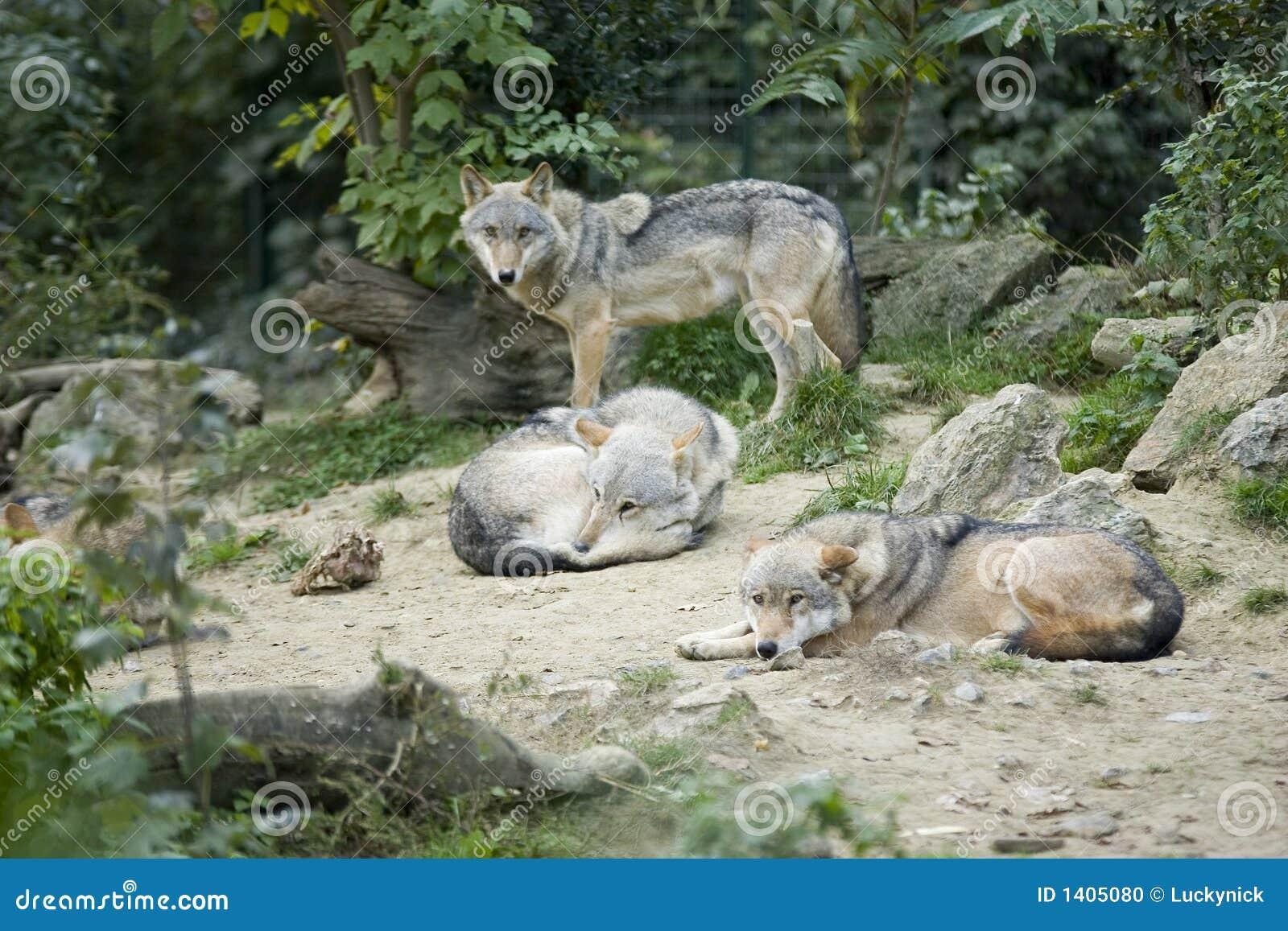 Wolfs gris