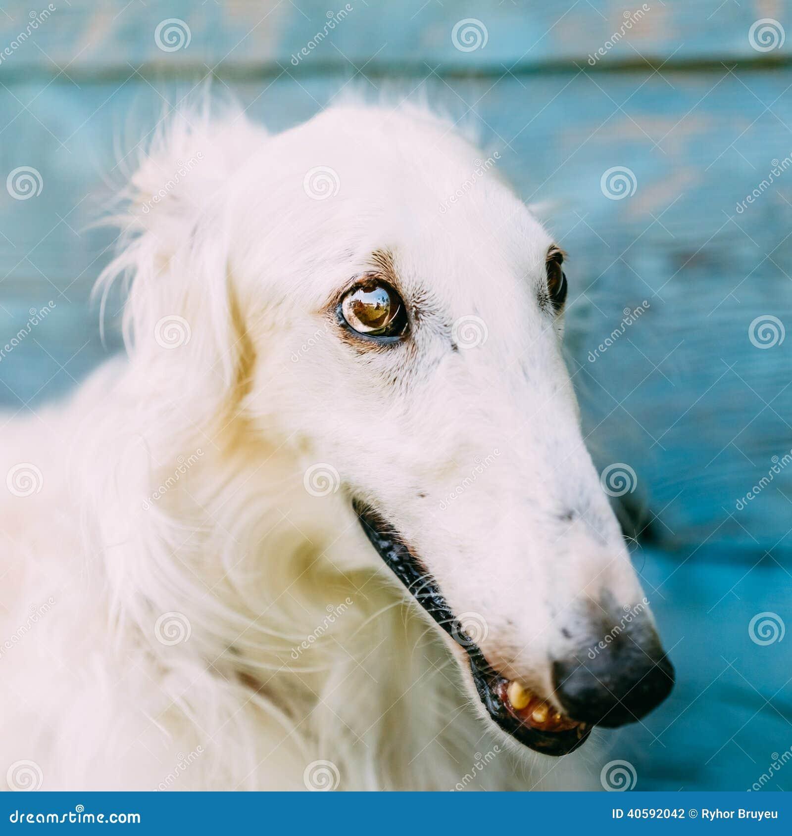 Wolfshond van de hond de Russische Barzoi