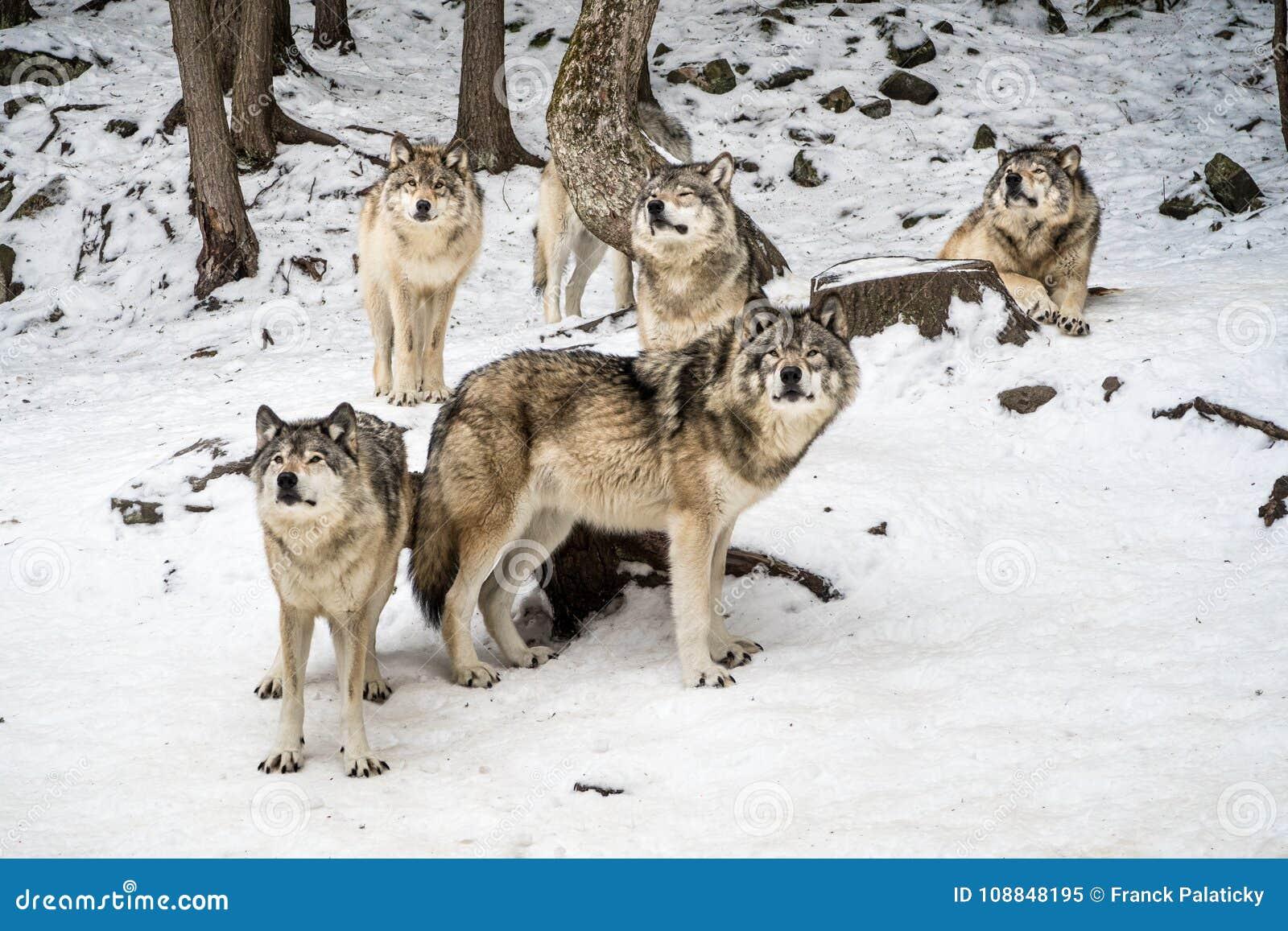 Wolfspak met alpha- in het centrum die camera bekijken