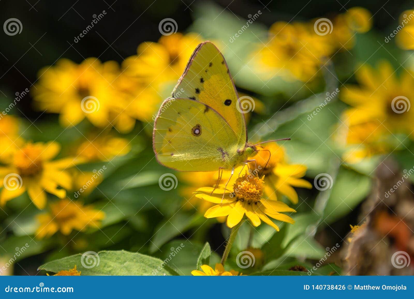 Wolkenloser Schwefelschmetterling, der auf gelbe Blume einzieht
