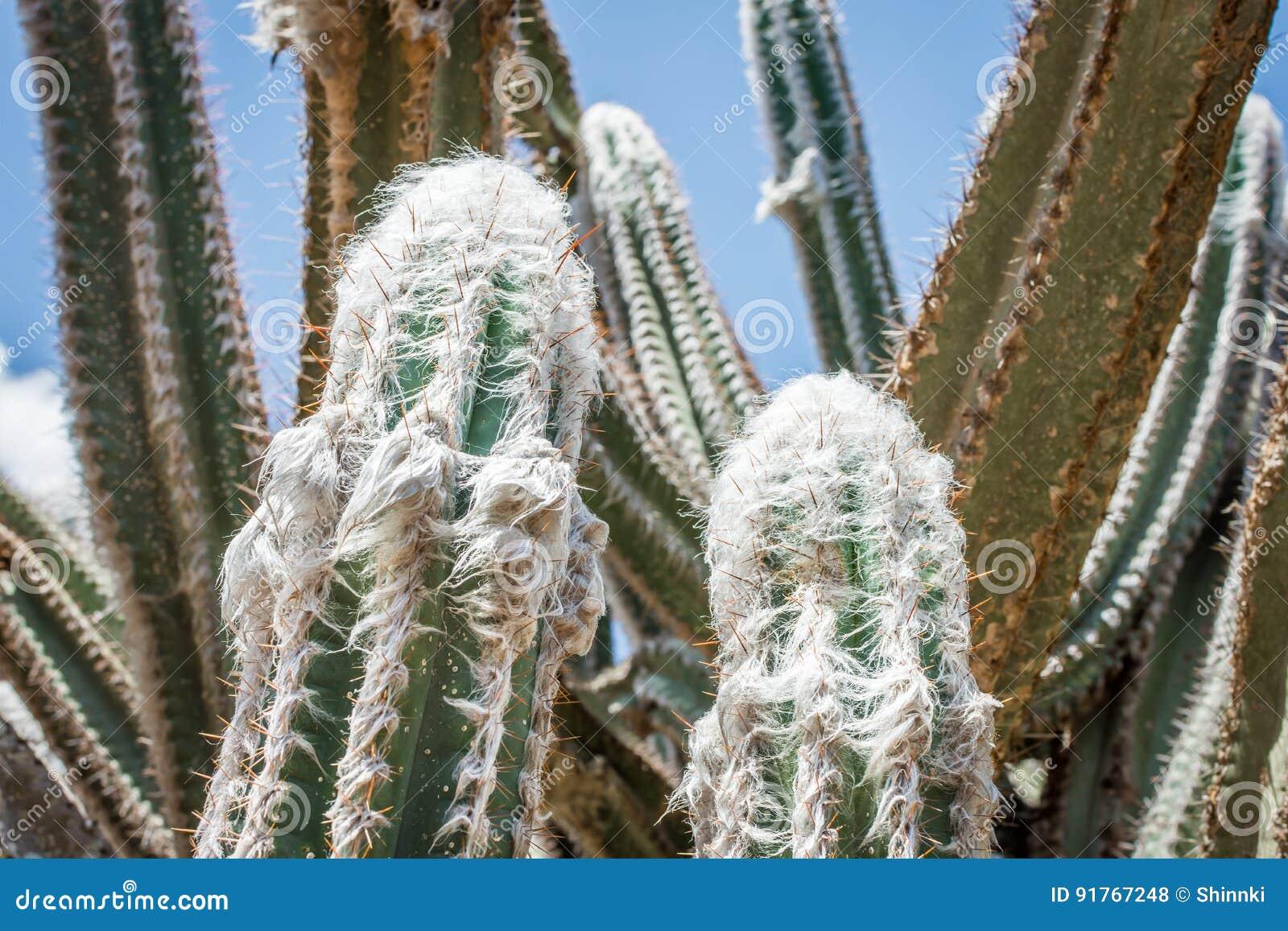 Wolliger Fackel-Kaktus
