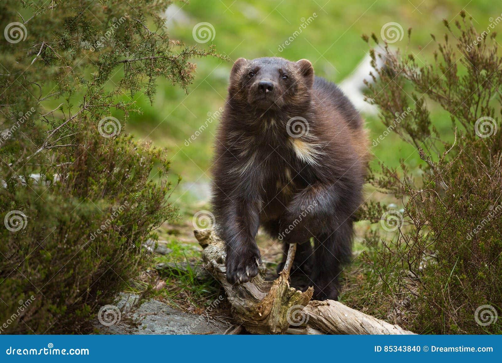 wolverine stockfoto. bild von wolverine, tiere, echt - 85343840