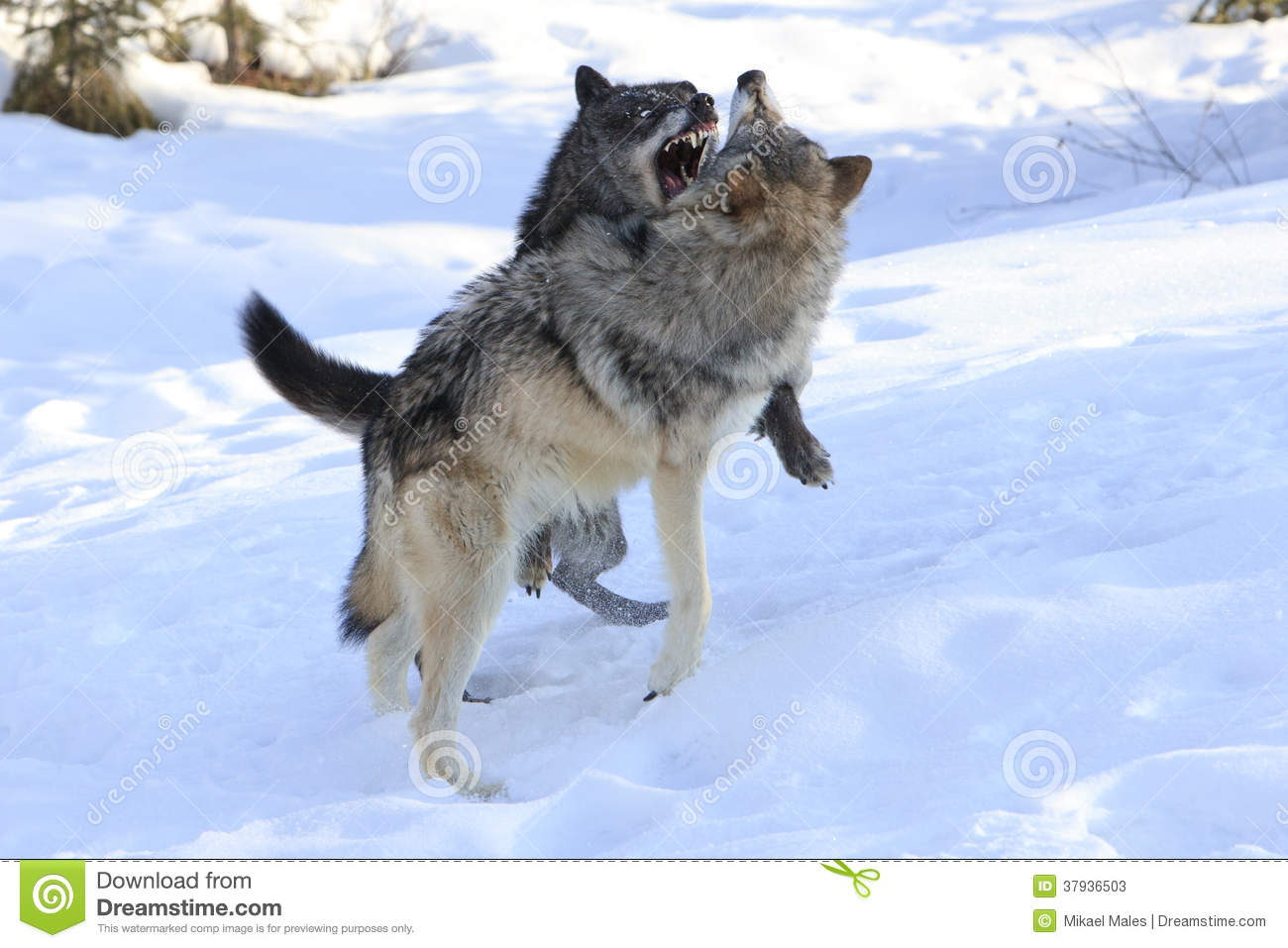 Wolves Fighting Over Female Wolf Stock Photos - Image: 37936503