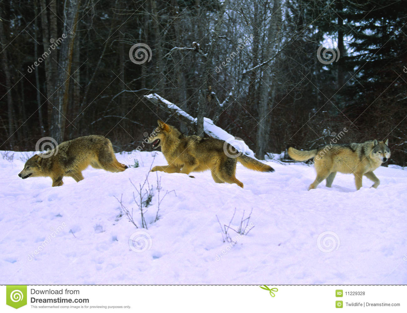 Arctic wolf running through the snow  YouTube