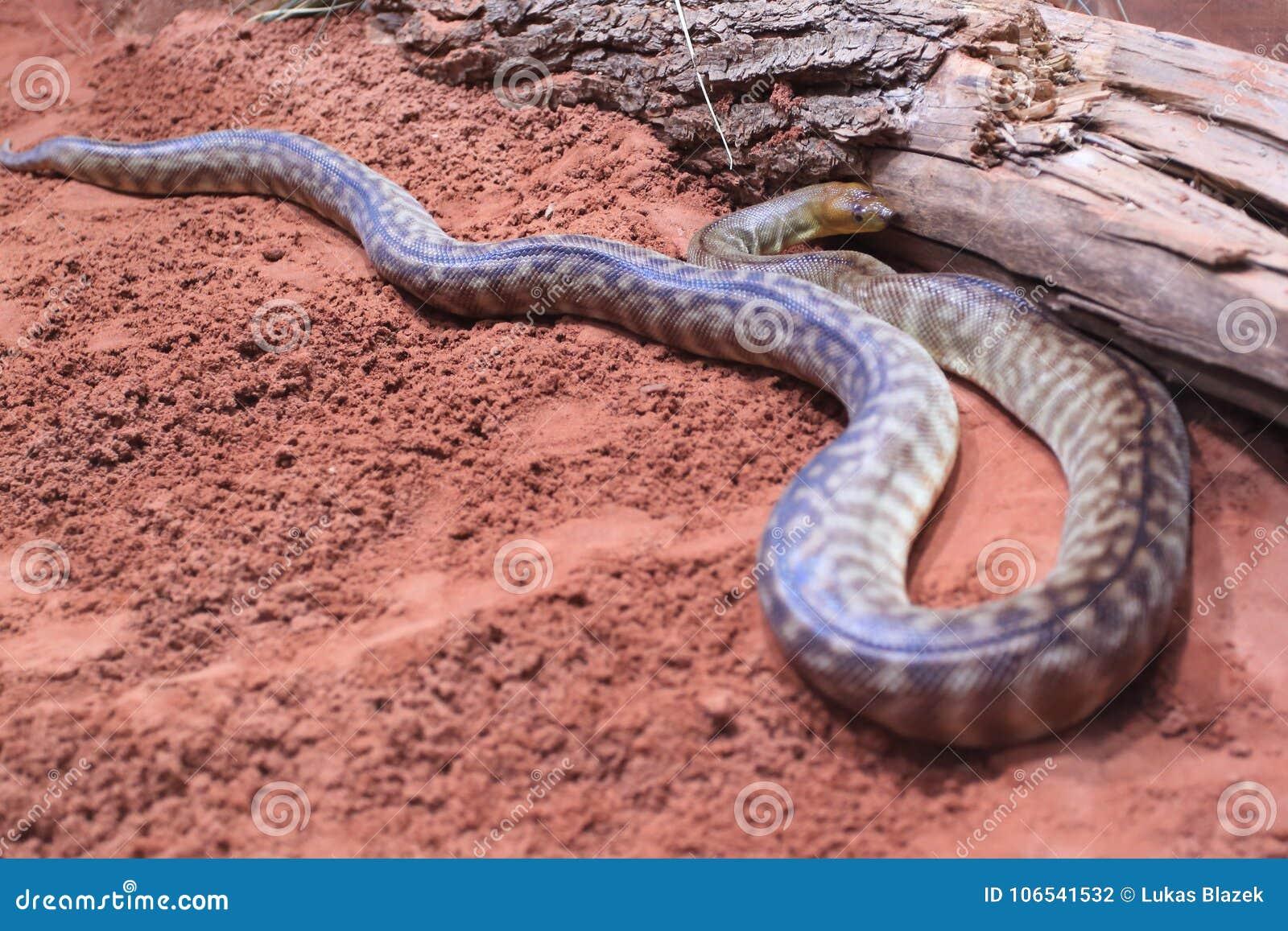 Woma Pythonschlange