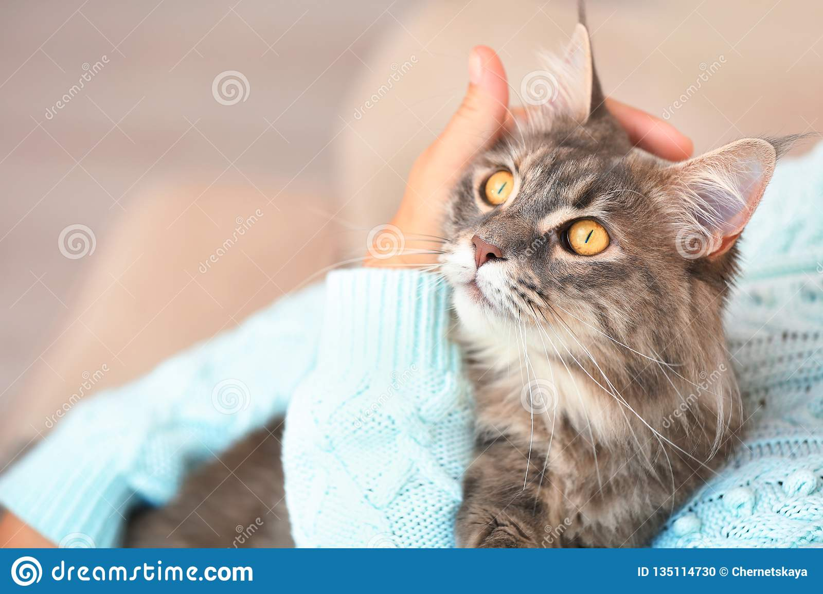 Woman with adorable Maine Coon cat at home, closeup.