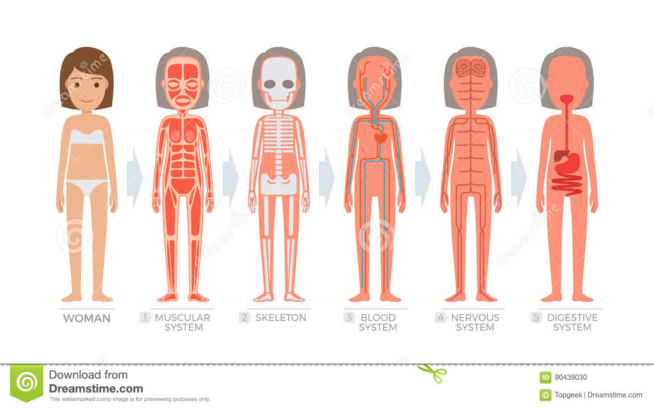 Woman Anatomy System And Structure Of Human Body Stock Vector ...