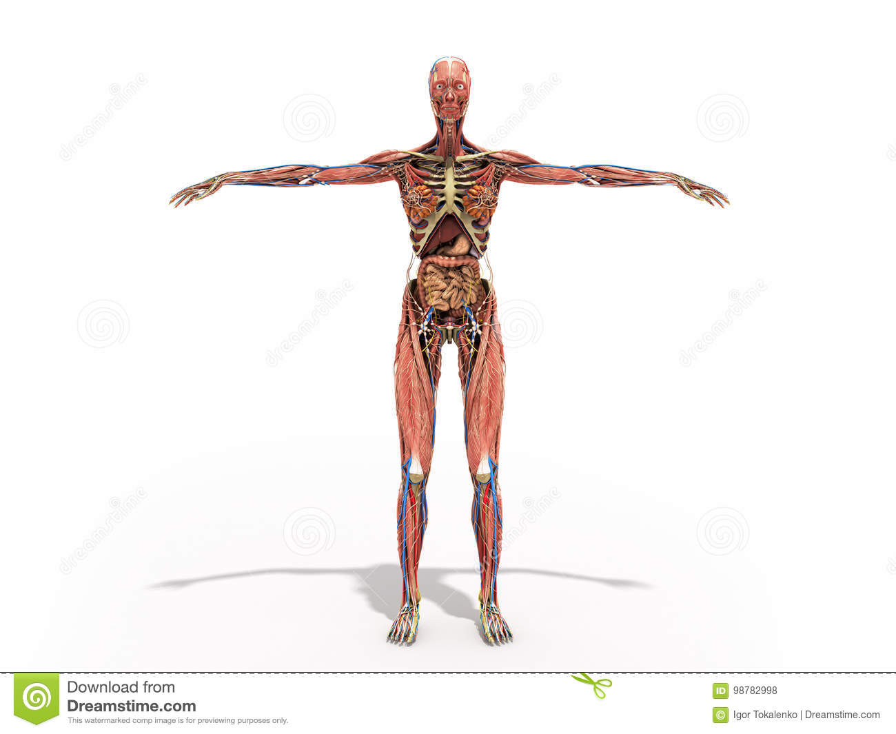 A Woman Body For Books On Anatomy 3d Render On White Stock