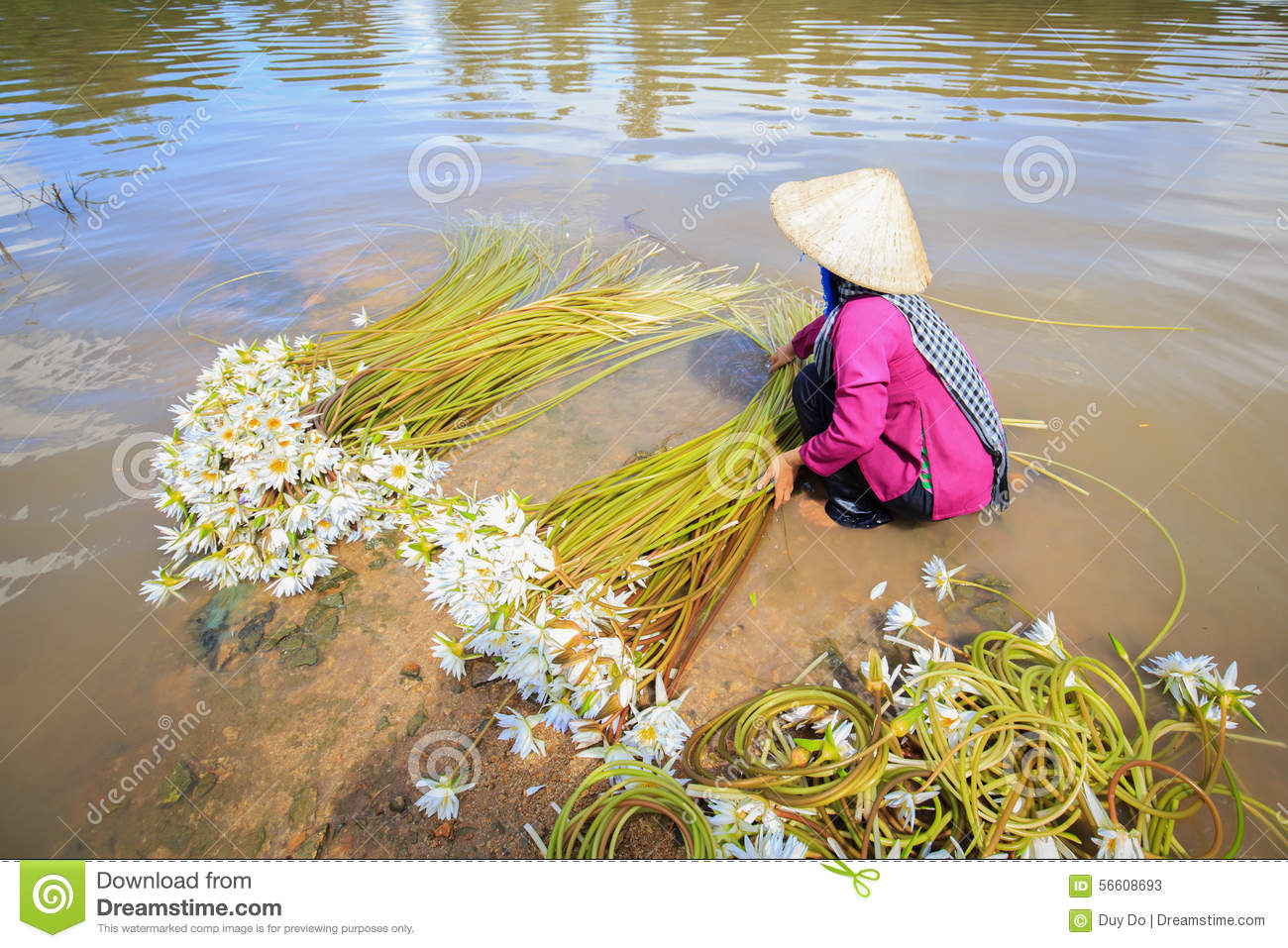 Woman collect water lily flowers nymphaea prepared in roll for royalty free stock photo izmirmasajfo Image collections