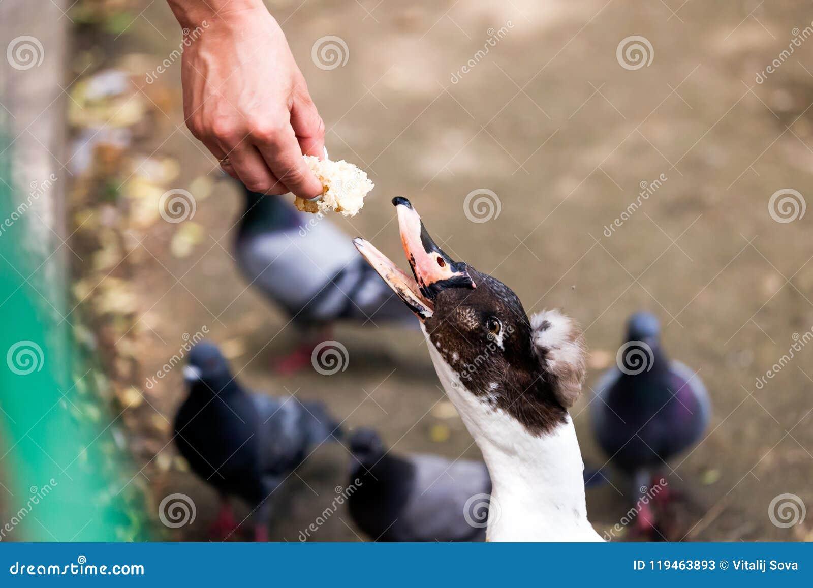 Woman feeding duck