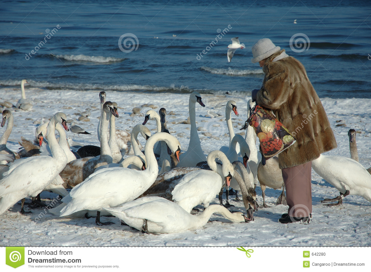 Woman is feeding the swans